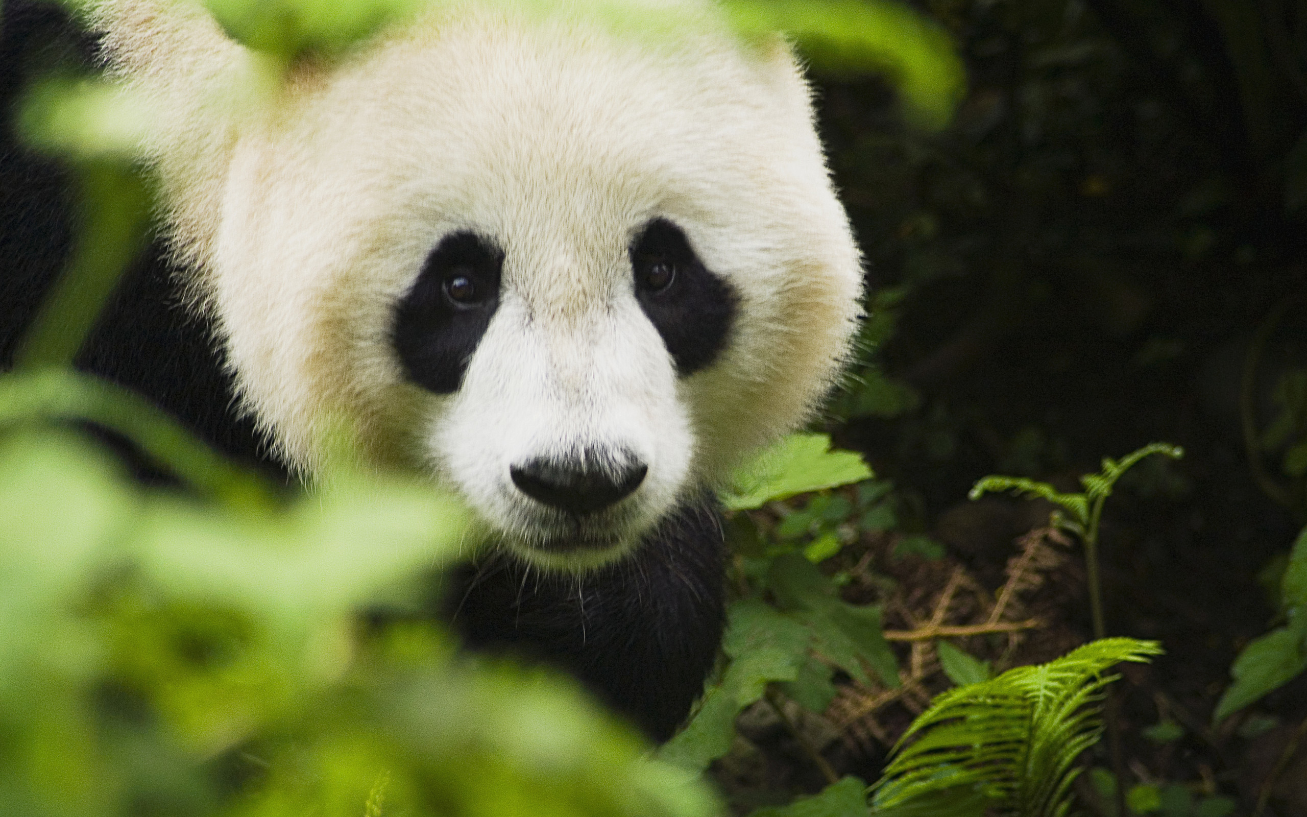 2560x1600 Cute Panda Face Wallpaper IPhone Wallpaper | WallpaperLepi