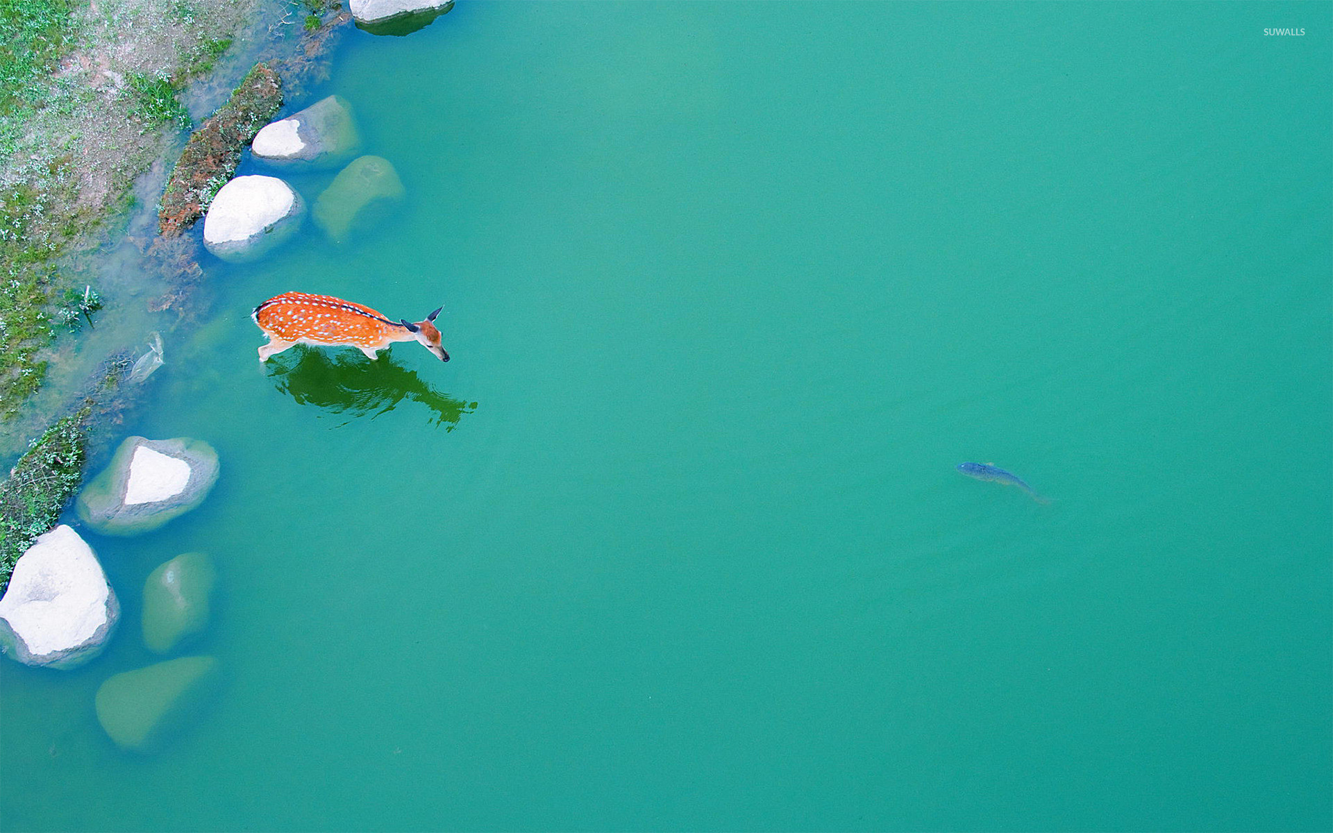1920x1200 Deer in a pond wallpaper