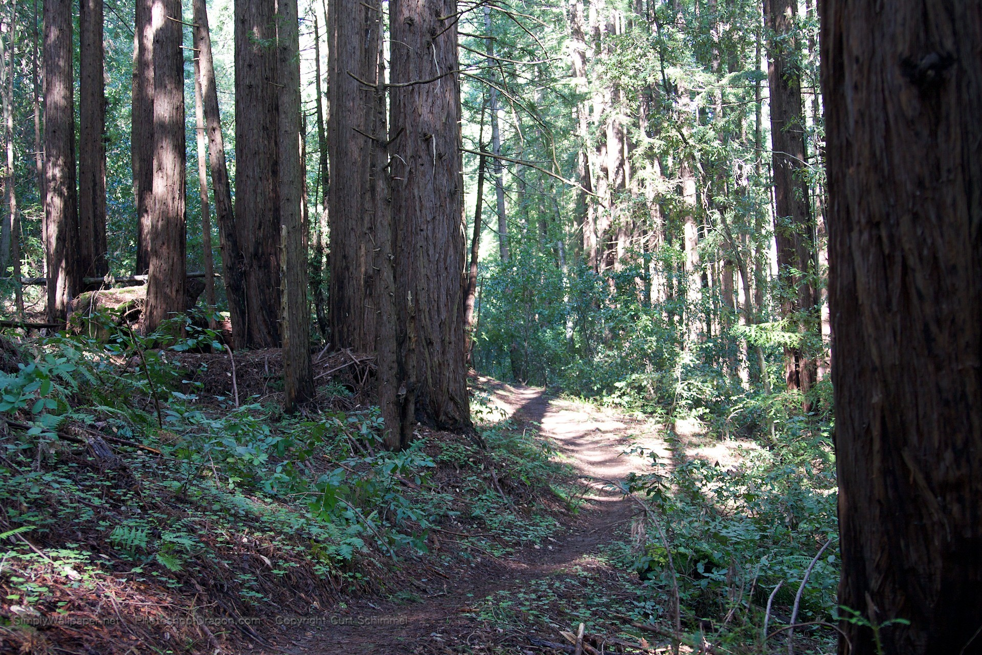 1920x1280 Path Through the Redwoods wallpaper - Click picture for high resolution HD  wallpaper