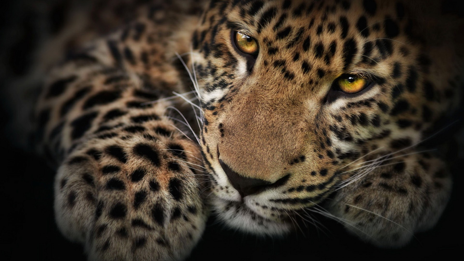 1920x1080 Wild Cat Wallpapers - WallpaperSafari 13 best Big ...