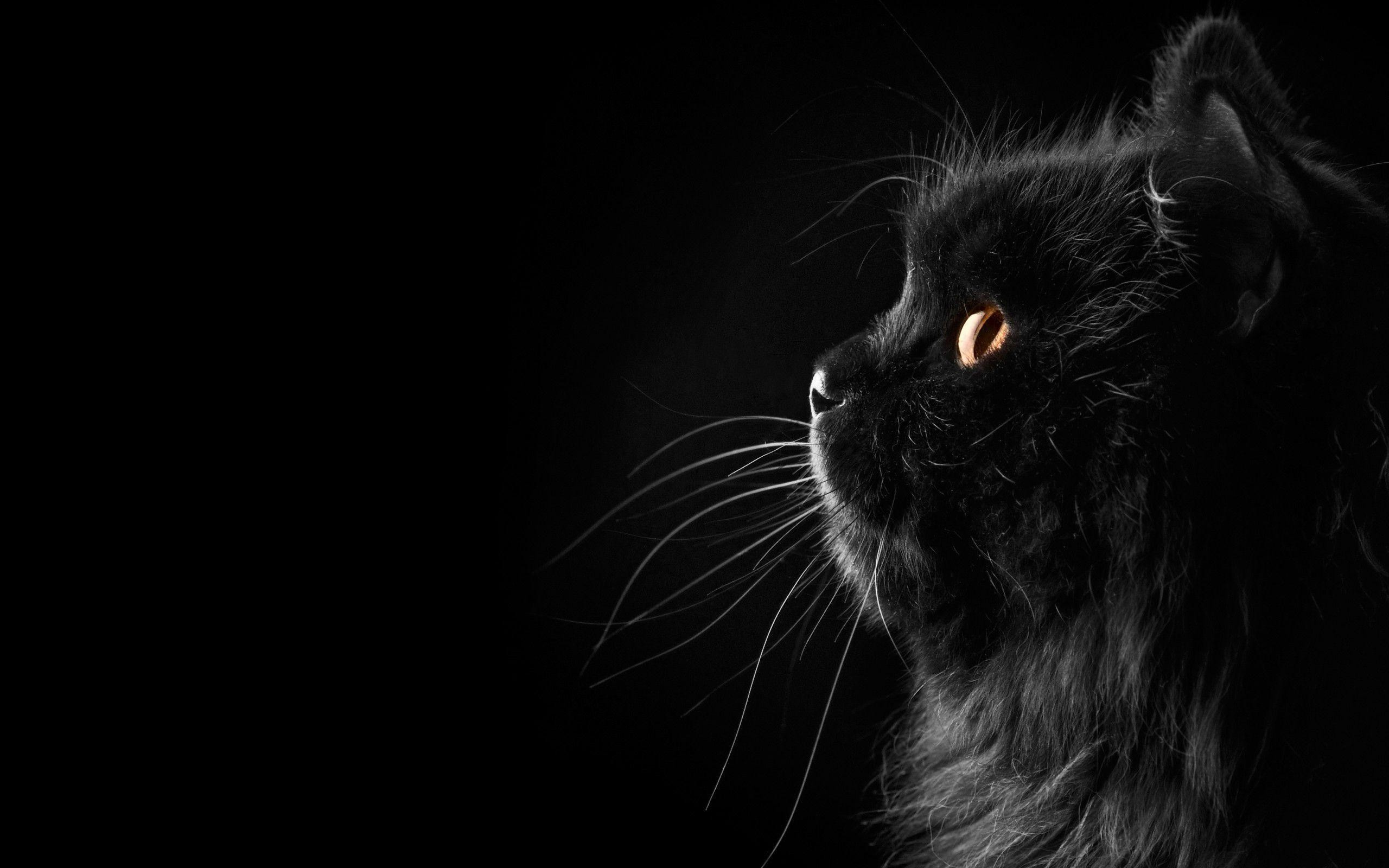 2560x1600 Black Cat Wallpaper 40 377089 High Definition Wallpapers| wallalay.