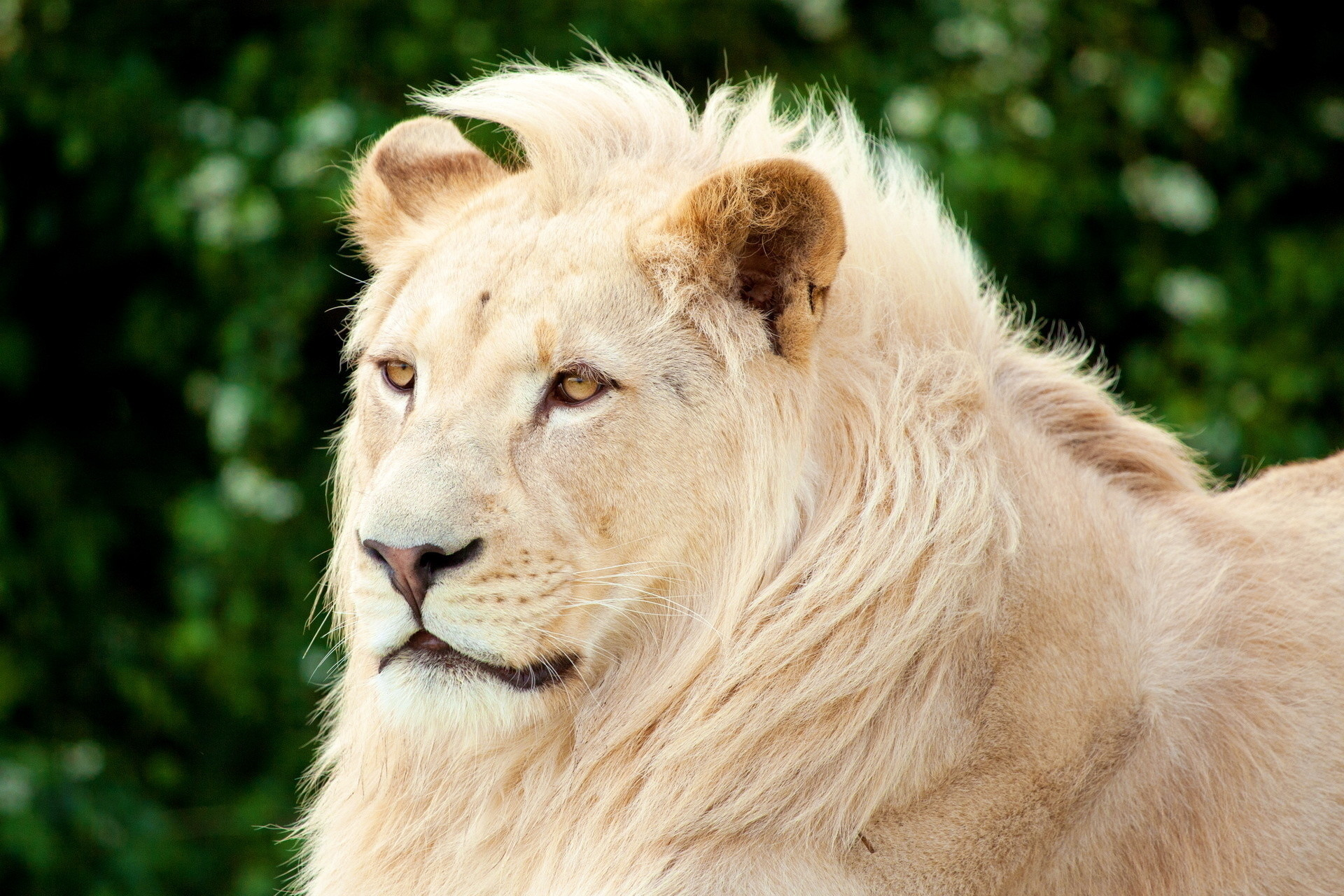 Lion Face Wallpaper 68 Images