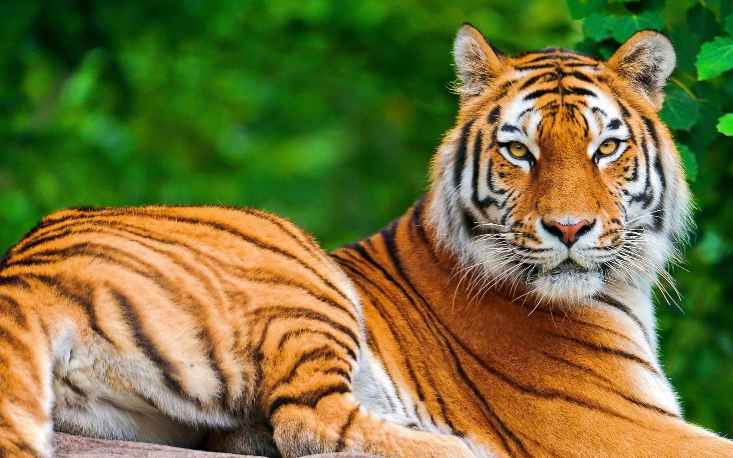 Hd Tiger Backgrounds 75 Images
