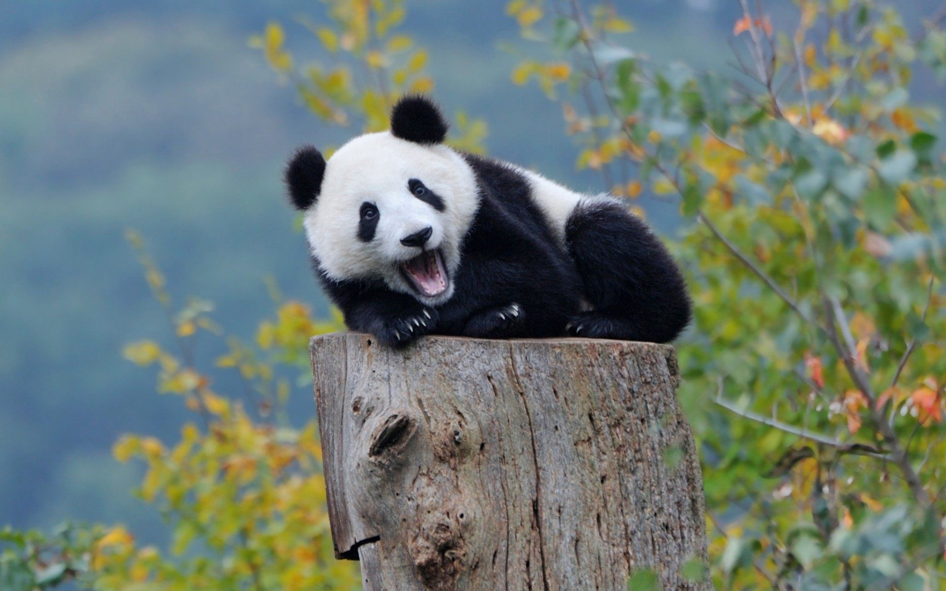1920x1200 Cute Panda Wallpaper Collection For Free Download