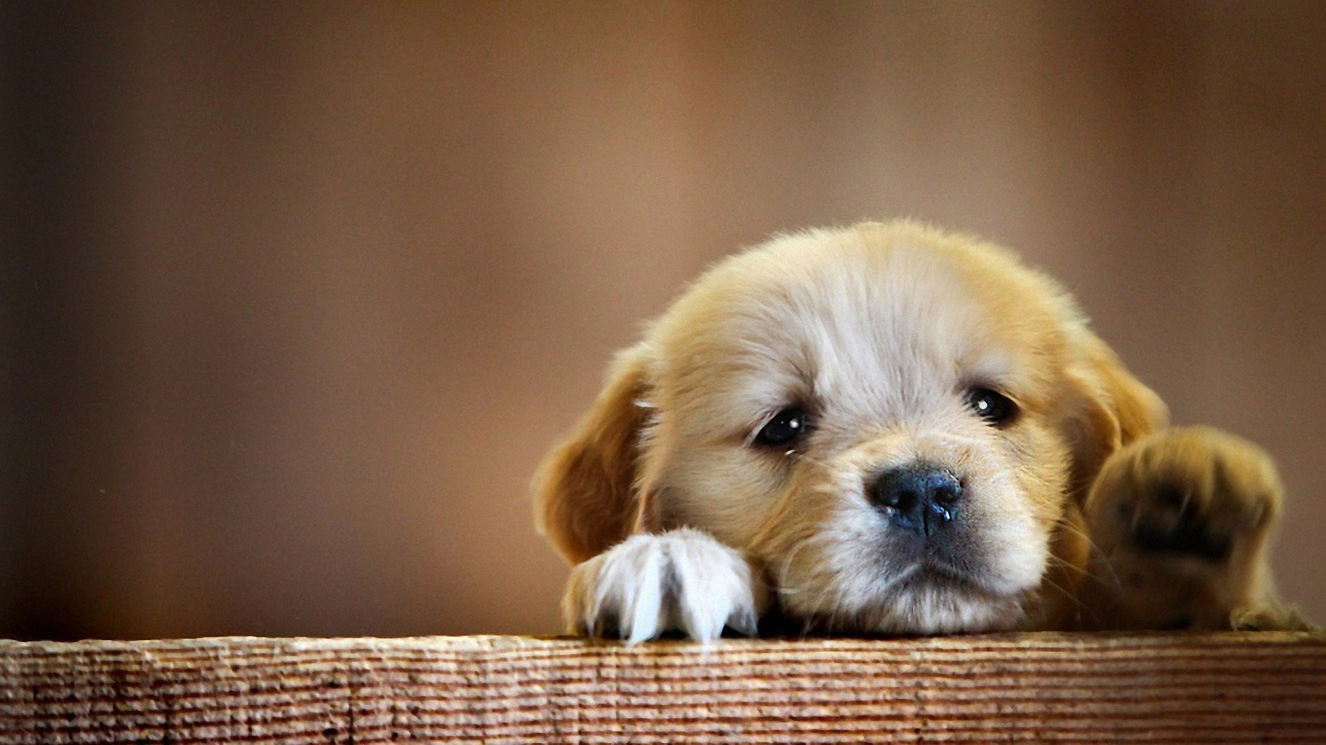 1920x1080 Puppy want to play animal cute baby dog wallpaper |  .