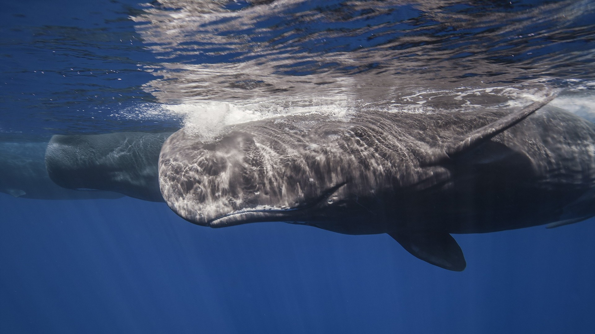1920x1080 Preview wallpaper whale, sperm whale, sea, ocean, underwater
