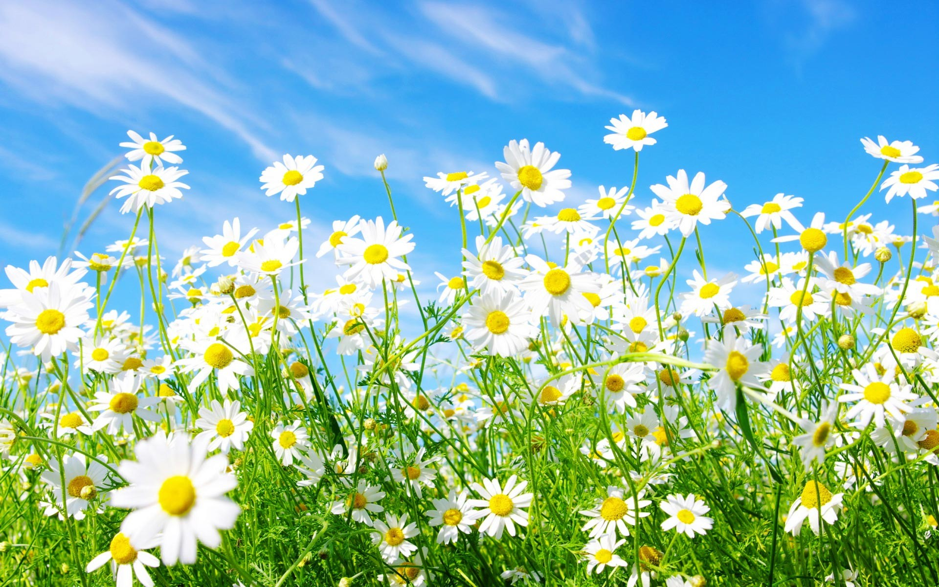 1920x1200 Spring Daisy Hd Widescreen Wallpapers.