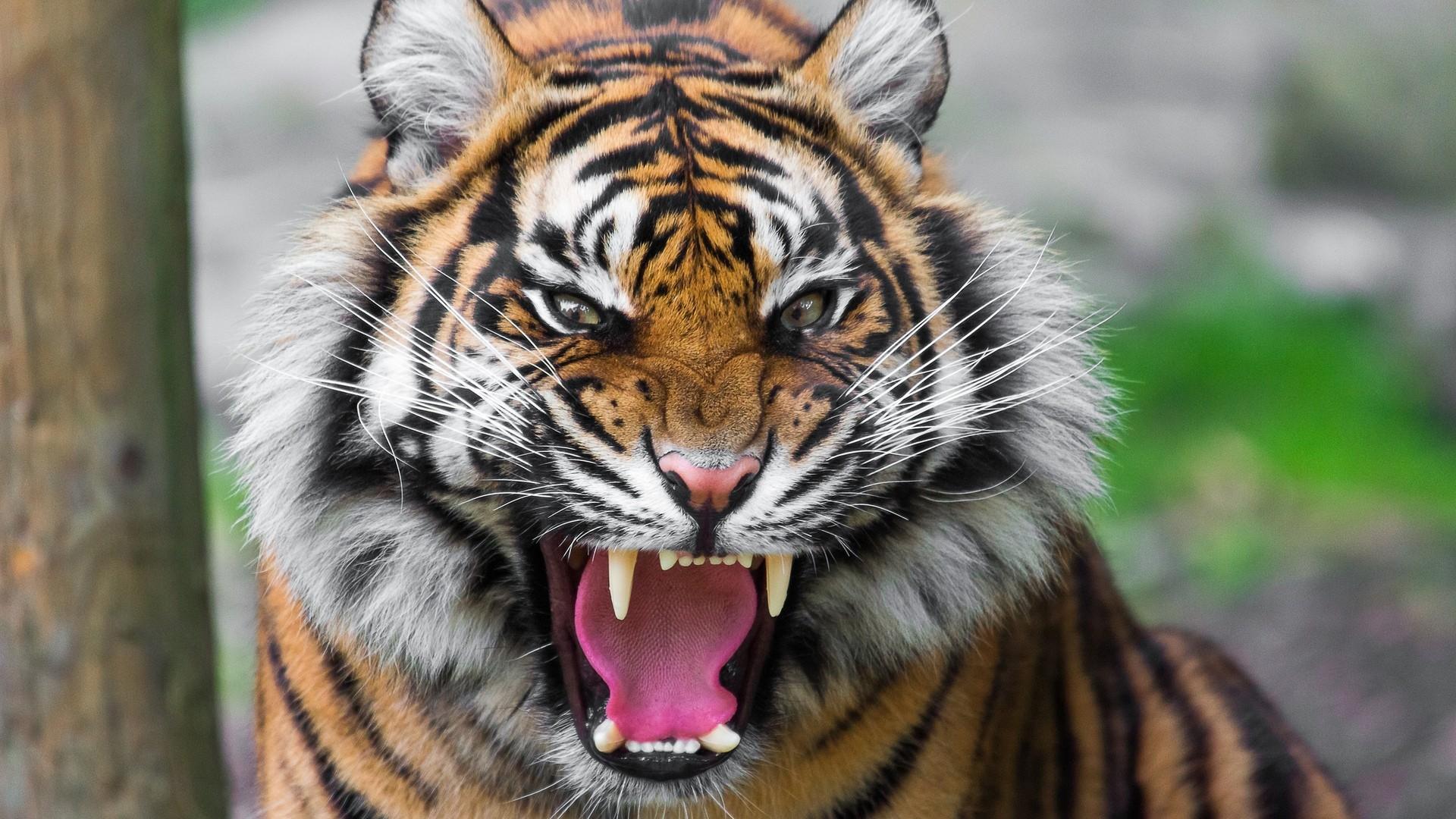 1920x1080 tiger wallpaper full hd (65+ images)