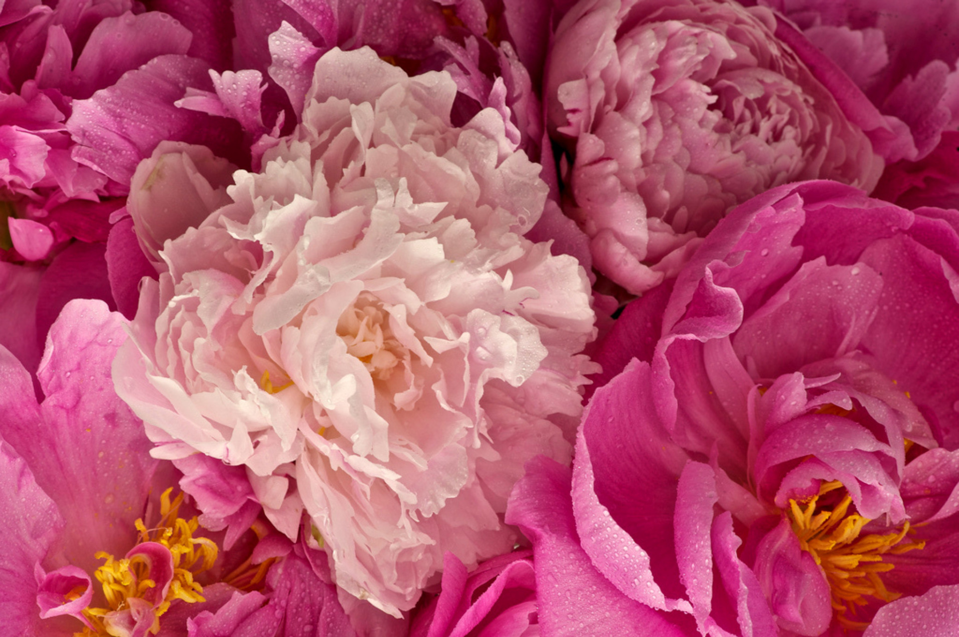 1920x1276 Outstanding Pink Peony Wide Wallpaper