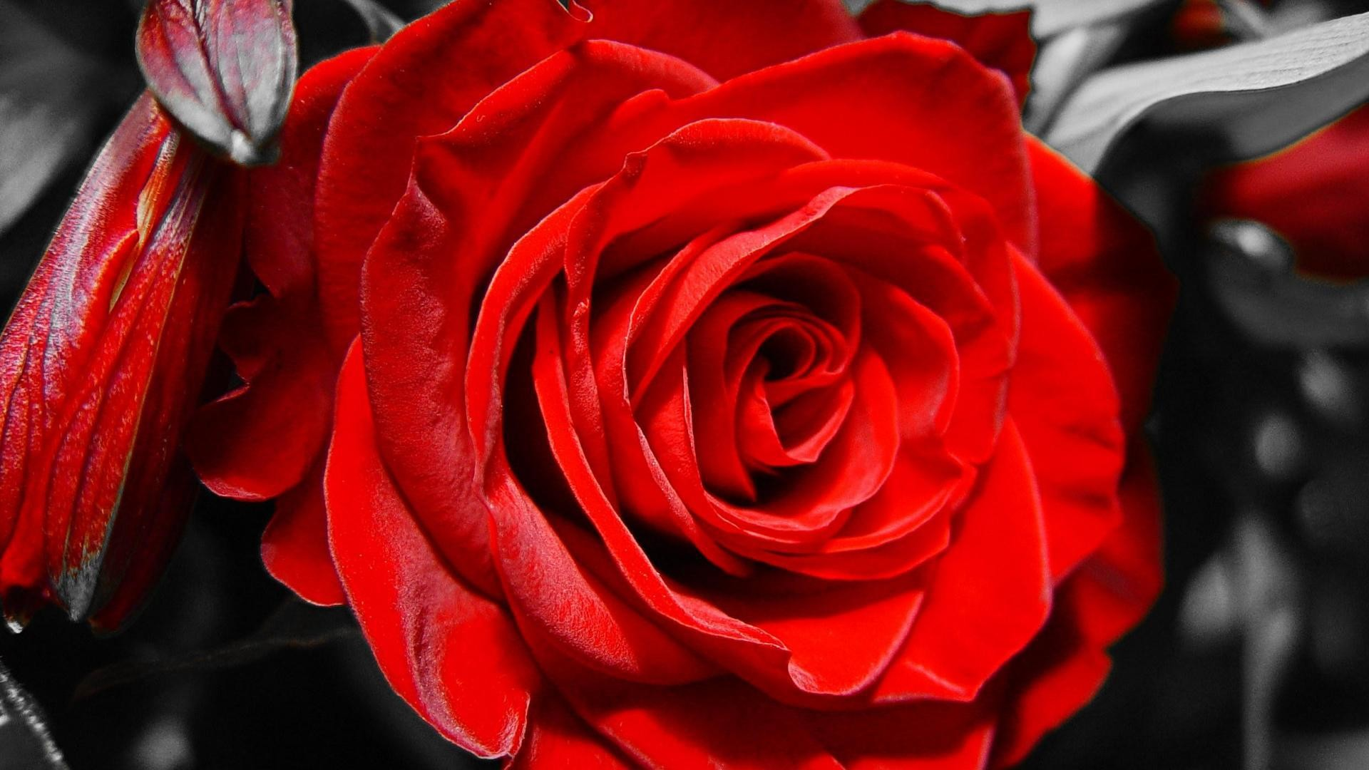 Black and Red Rose Wal...