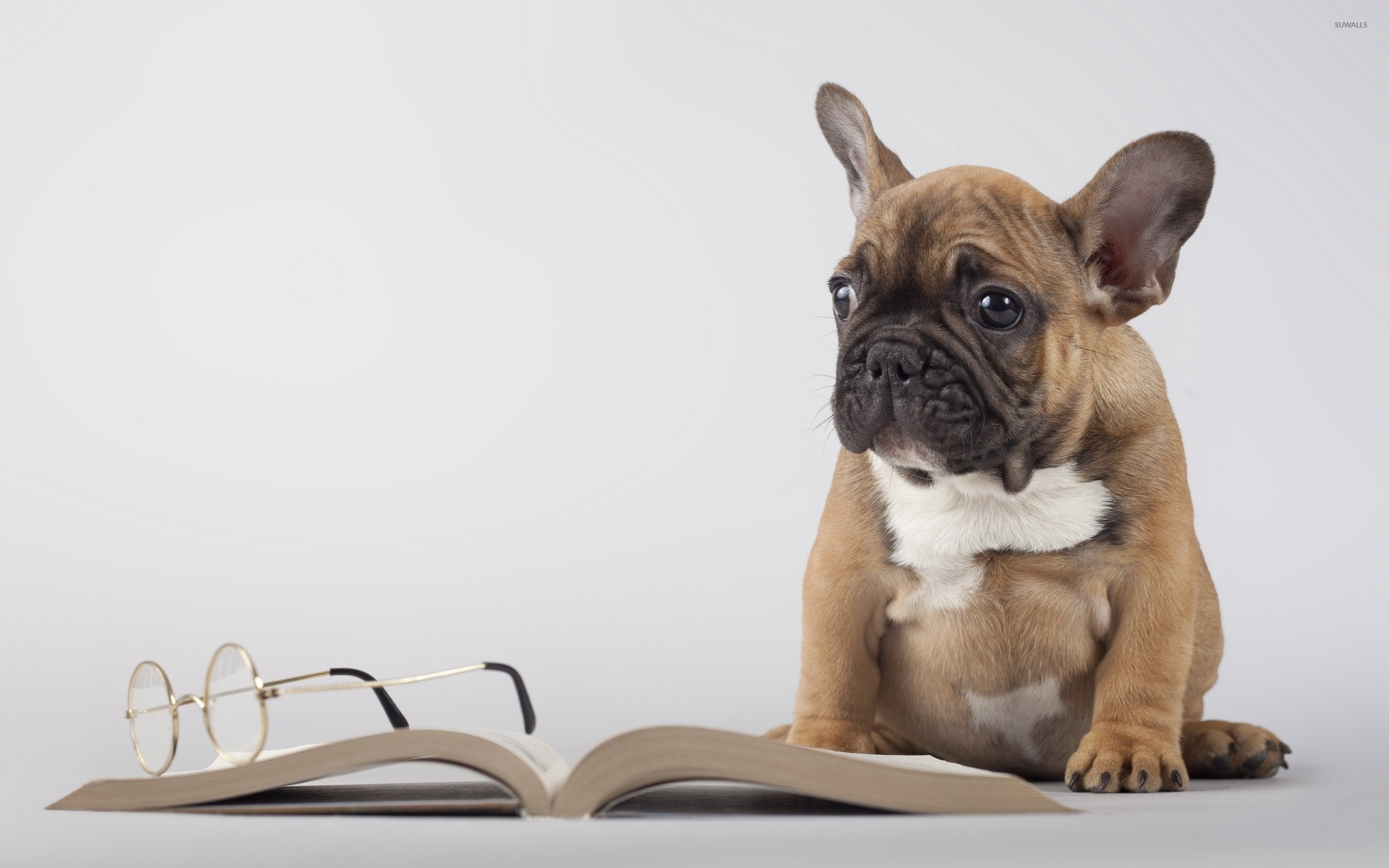 2560x1600 Cute pug puppy next to a book wallpaper  jpg