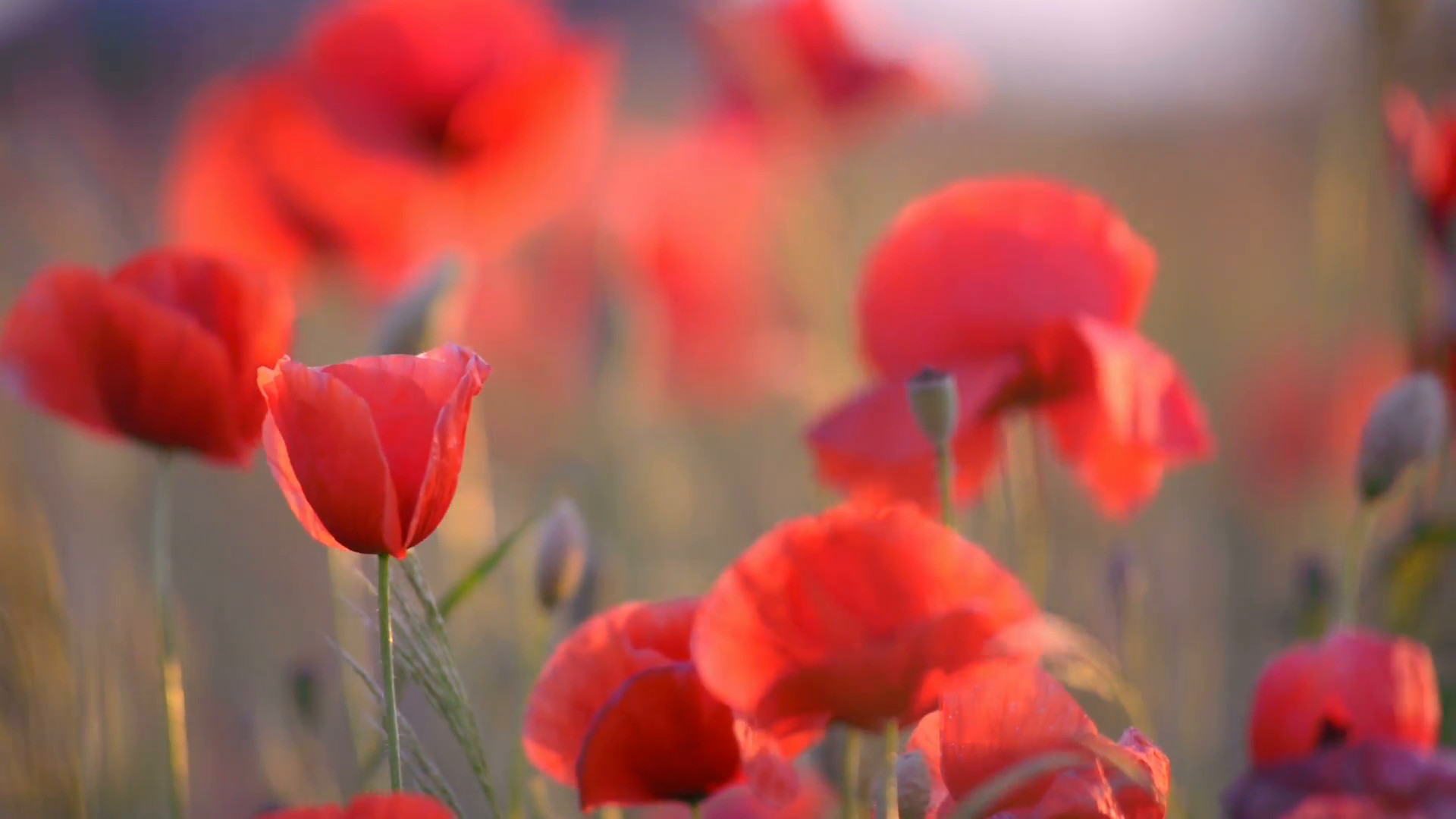 1920x1080 Poppy flowers at sunset, close-up, blurred background Stock Video Footage -  Storyblocks Video