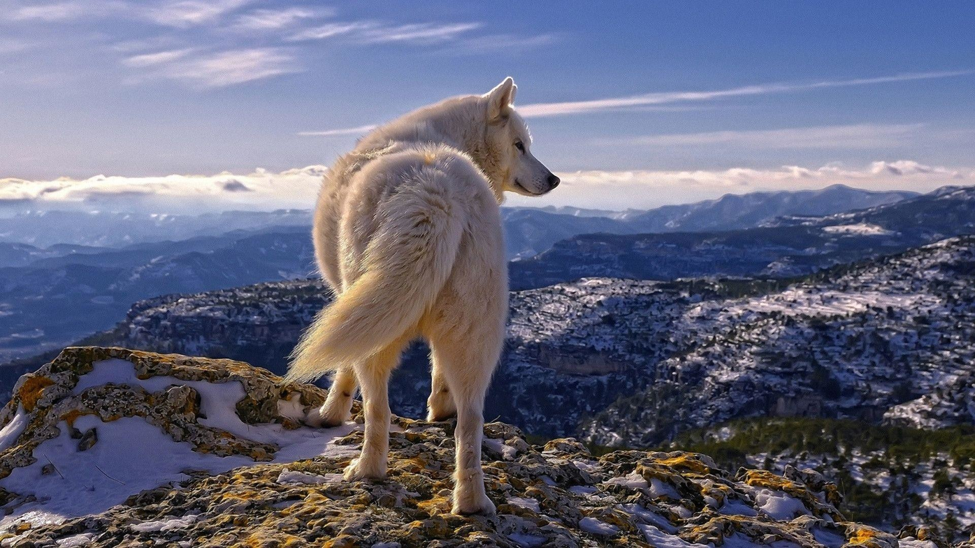 1920x1080 White Wolf HD Wallpaper | Download White Wolf Desktop HD Wallpaper .
