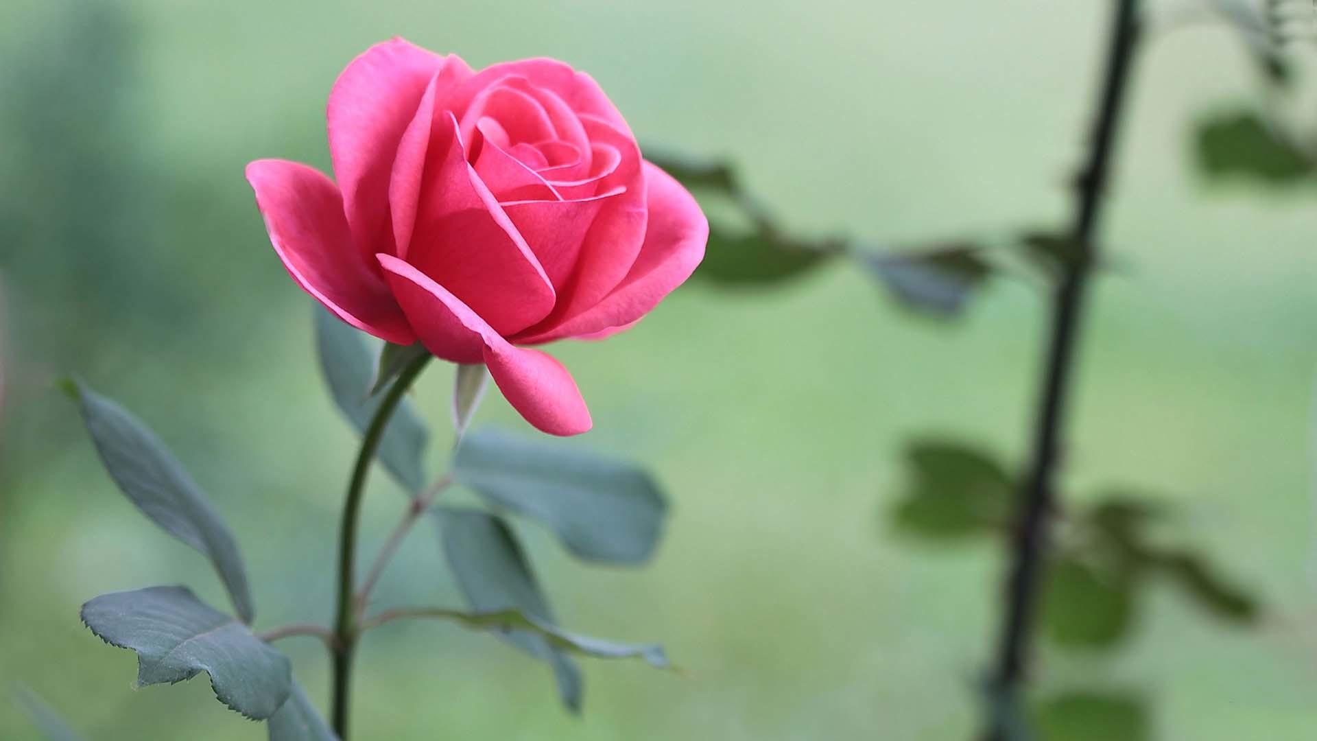 Roses wallpaper desktop 48 images - Rose desktop wallpaper hd ...