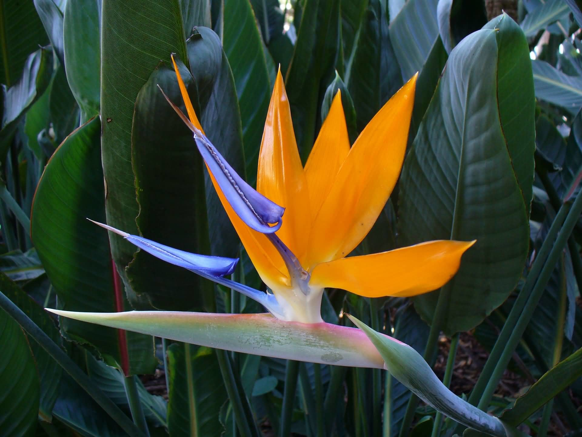 Bird of paradise flower wallpaper 5370761 panchenlamafo download just paradise animated wallpaper flower symbolism with pictures of flowers buycottarizona