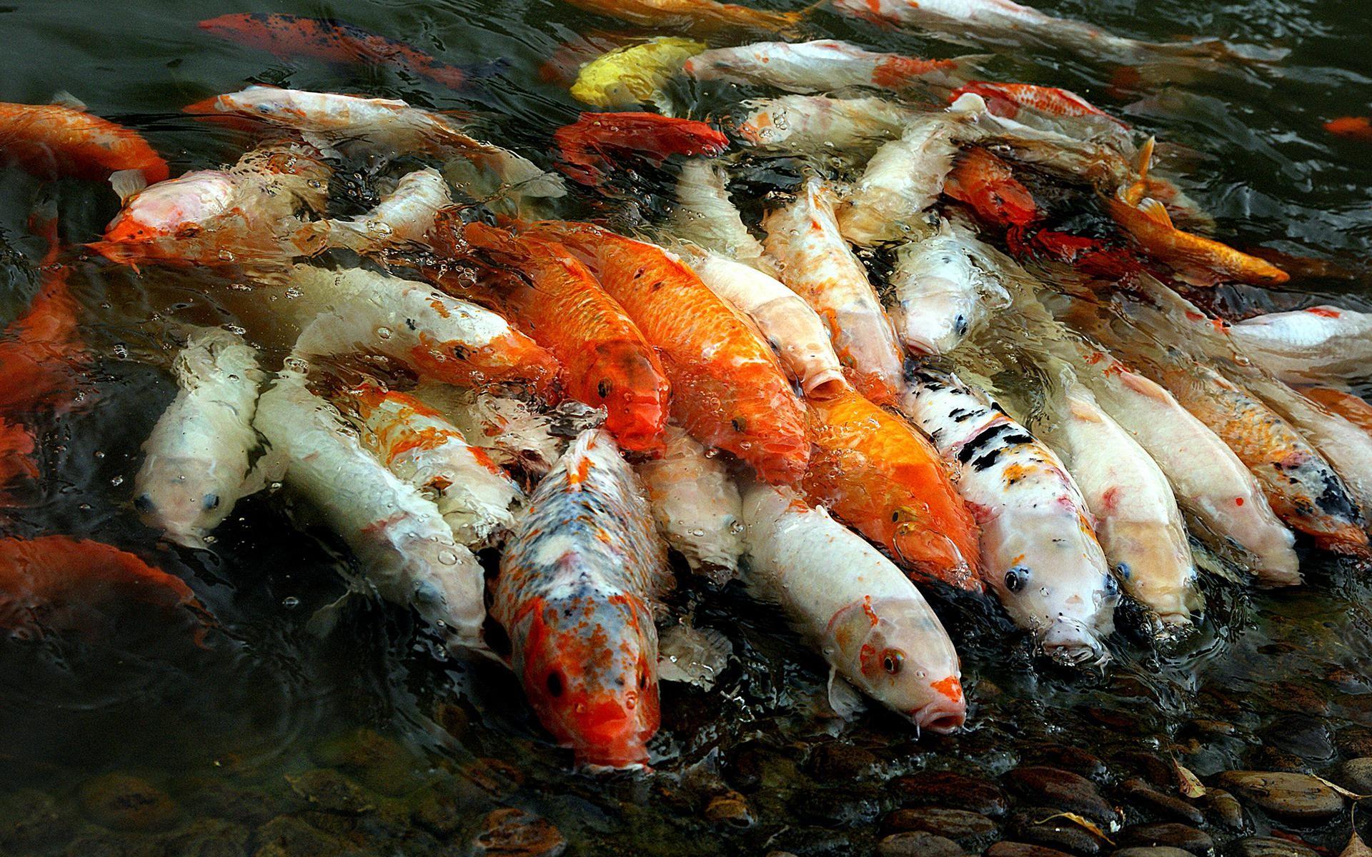 Koi fish wallpaper 59 images - Carp wallpaper iphone ...