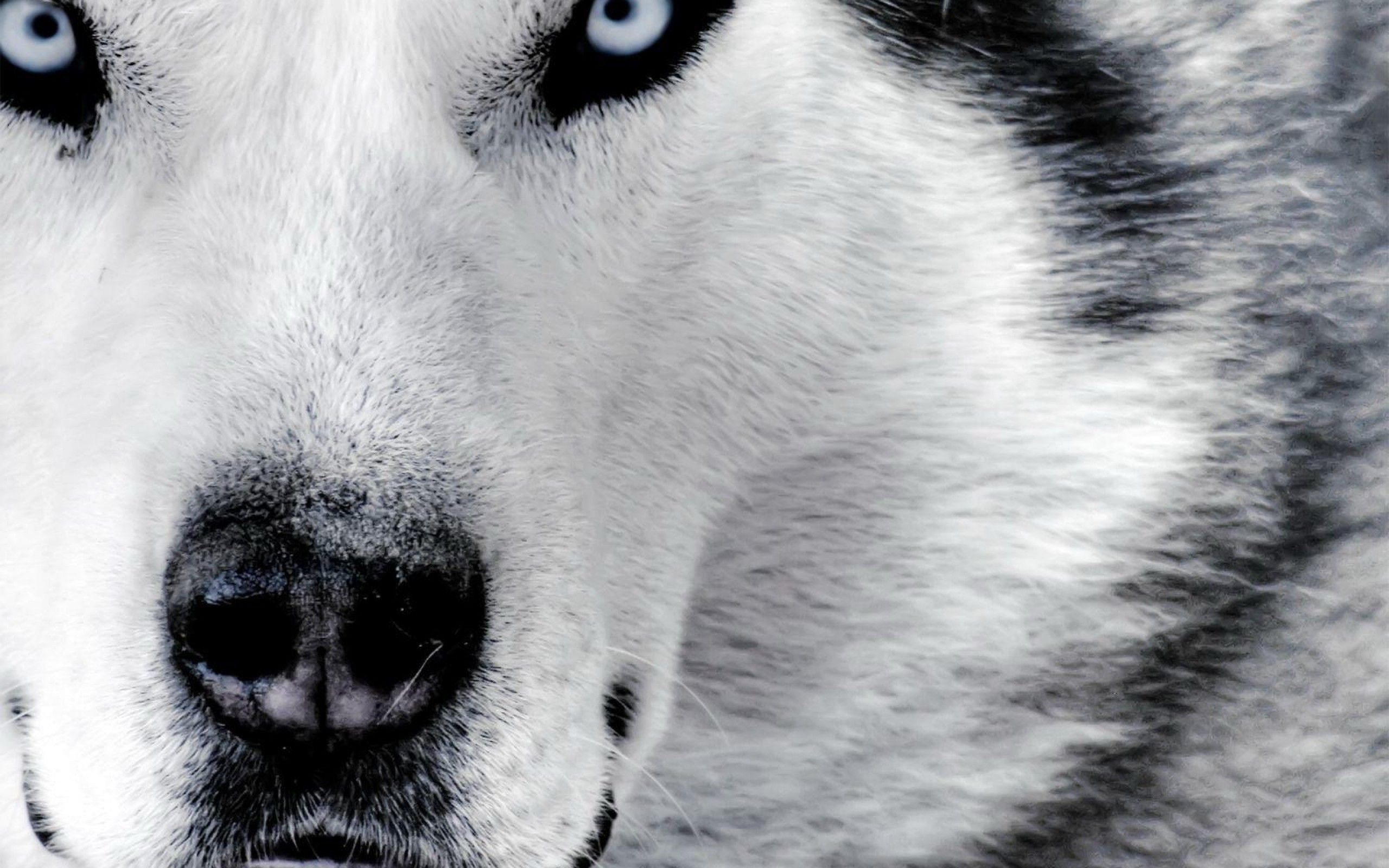 2560x1600  Wallpaper Hd Wolf Background 1 HD Wallpapers | Hdwalljoy.