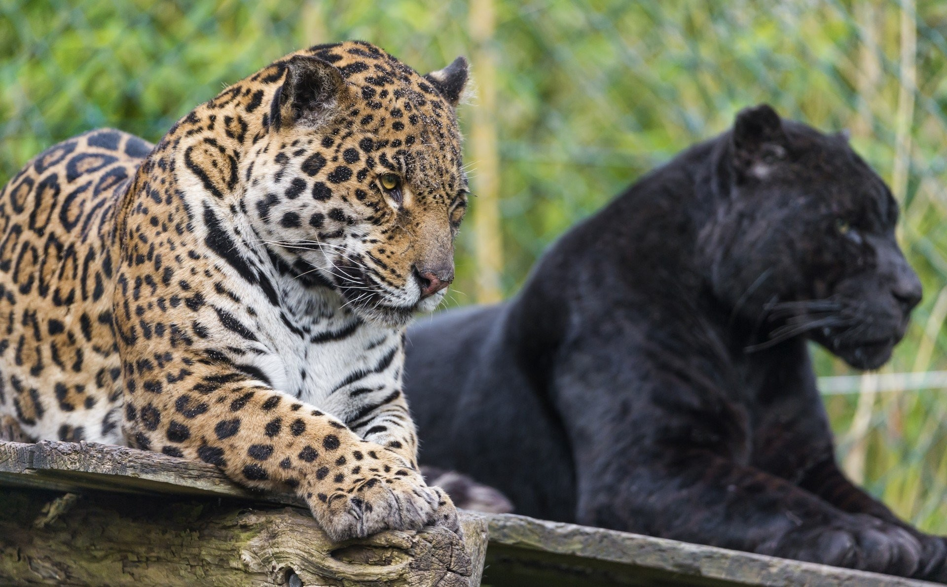 1920x1191 wild cats jaguar jaguars panther black jaguar