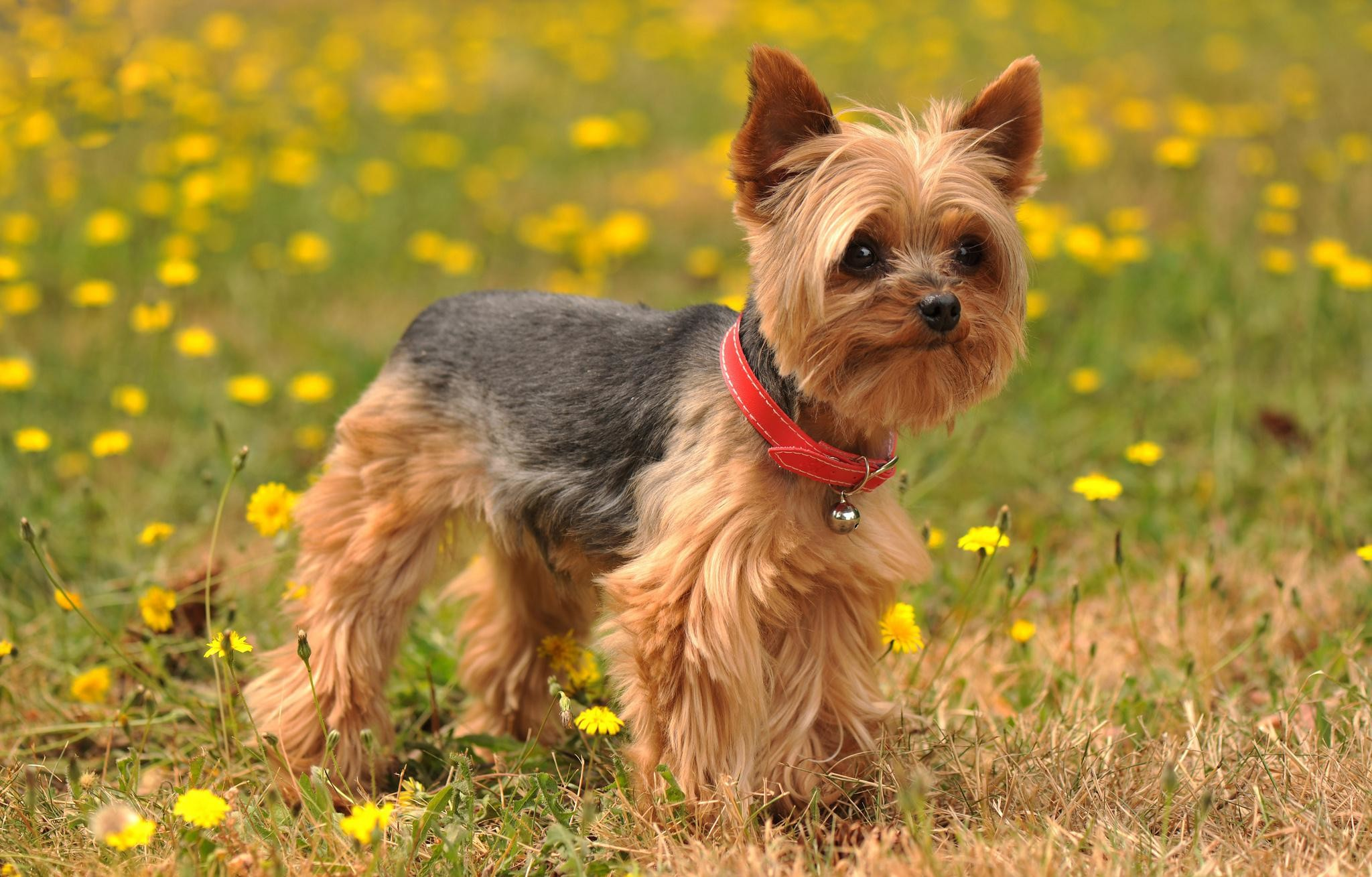 2048x1309 Animals Yorkshire Terrier Dog Images.Very Beautiful Yorkshire Terrier Dog  Photos.Yorkshire Terrier Dog Pics Background Wallpapers Download.