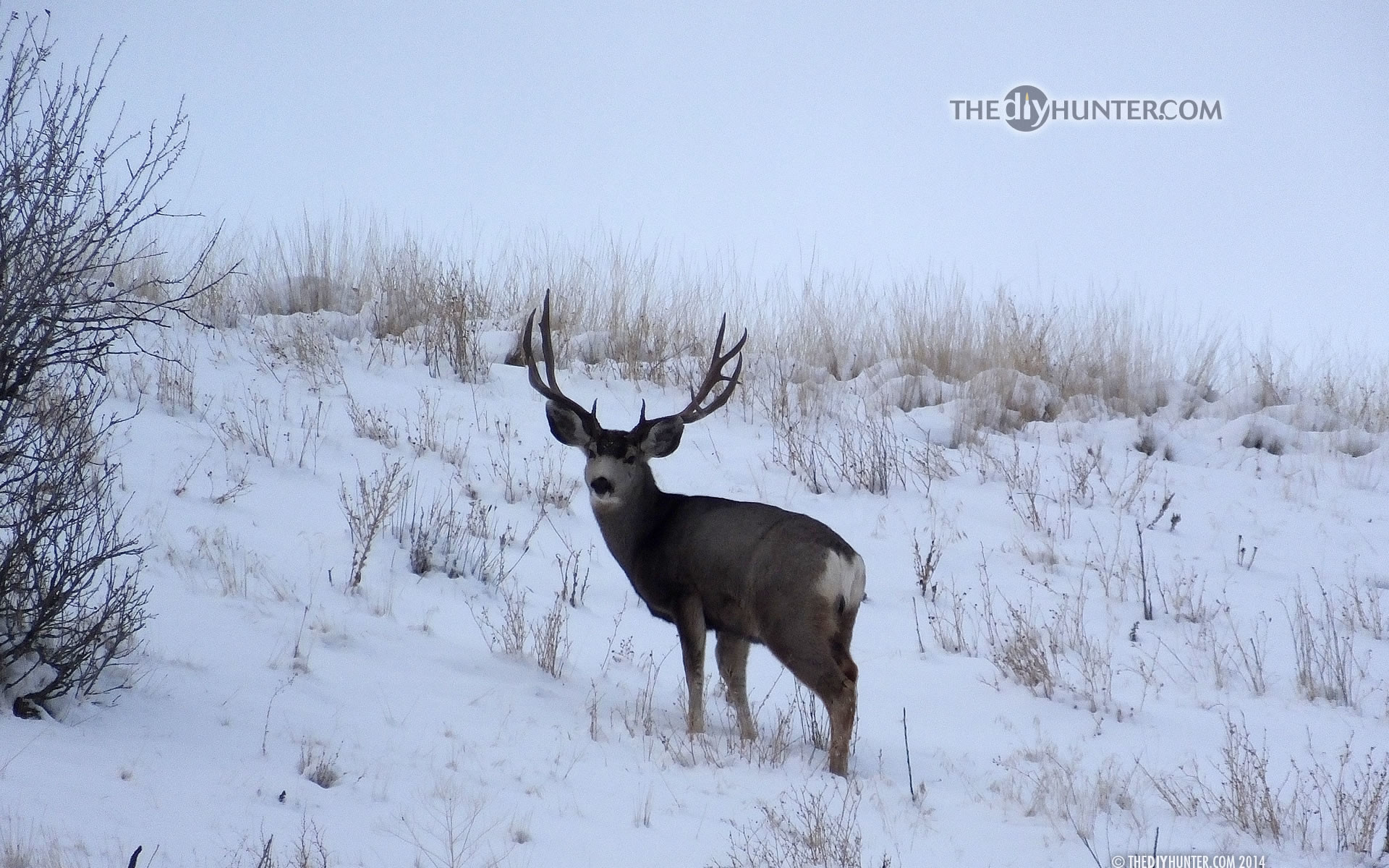 1920x1200 ... large 3x5 mule deer buck in snow