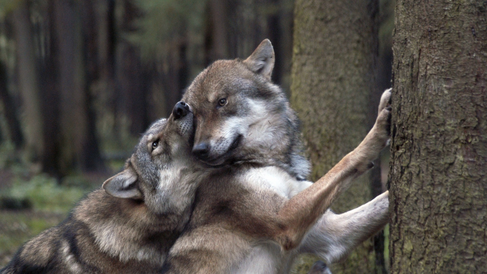 1920x1080 Wolves in love: