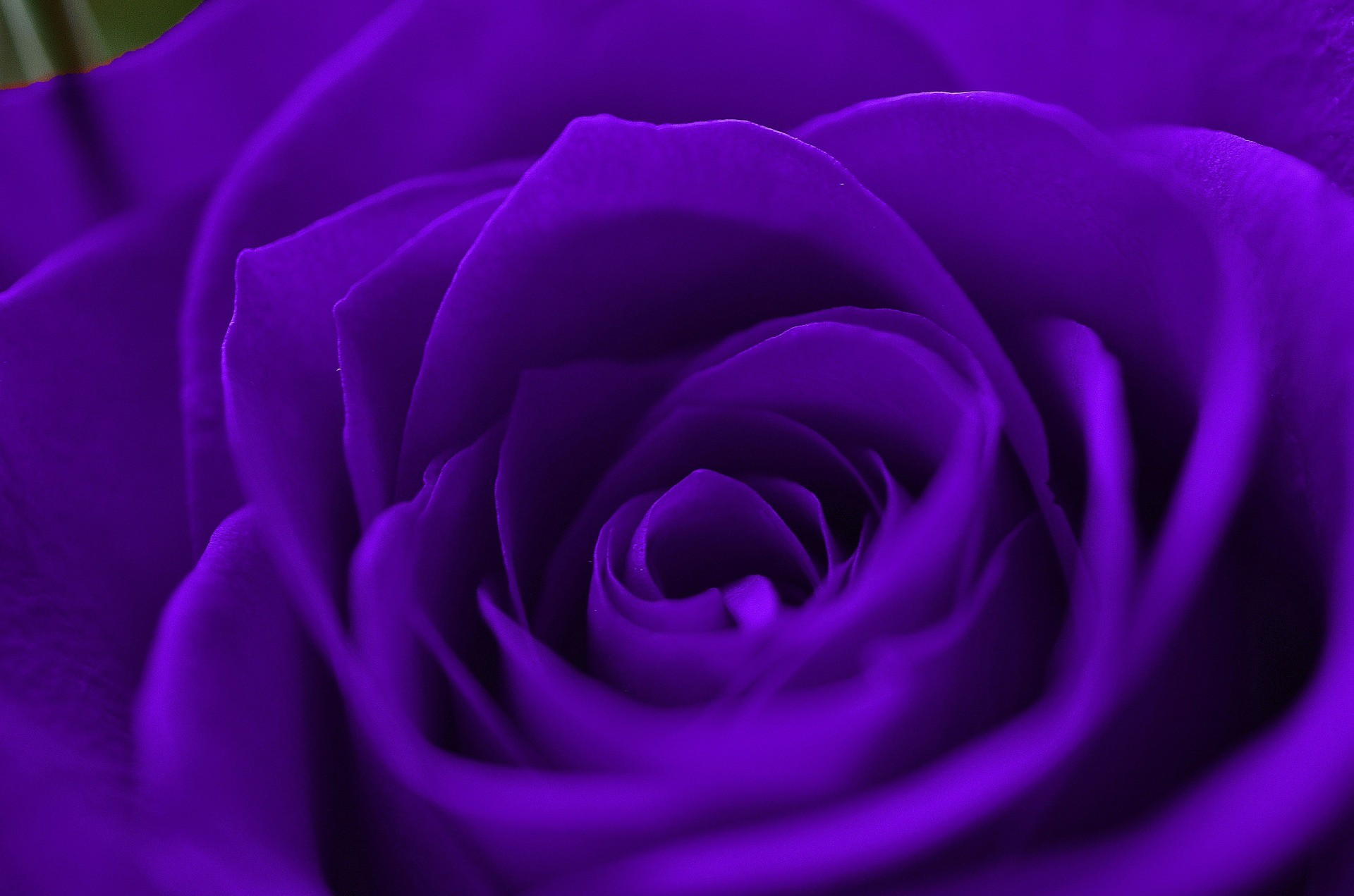 Download Purple And Green Wallpaper Gallery: Dark Purple Roses Wallpaper (46+ Images
