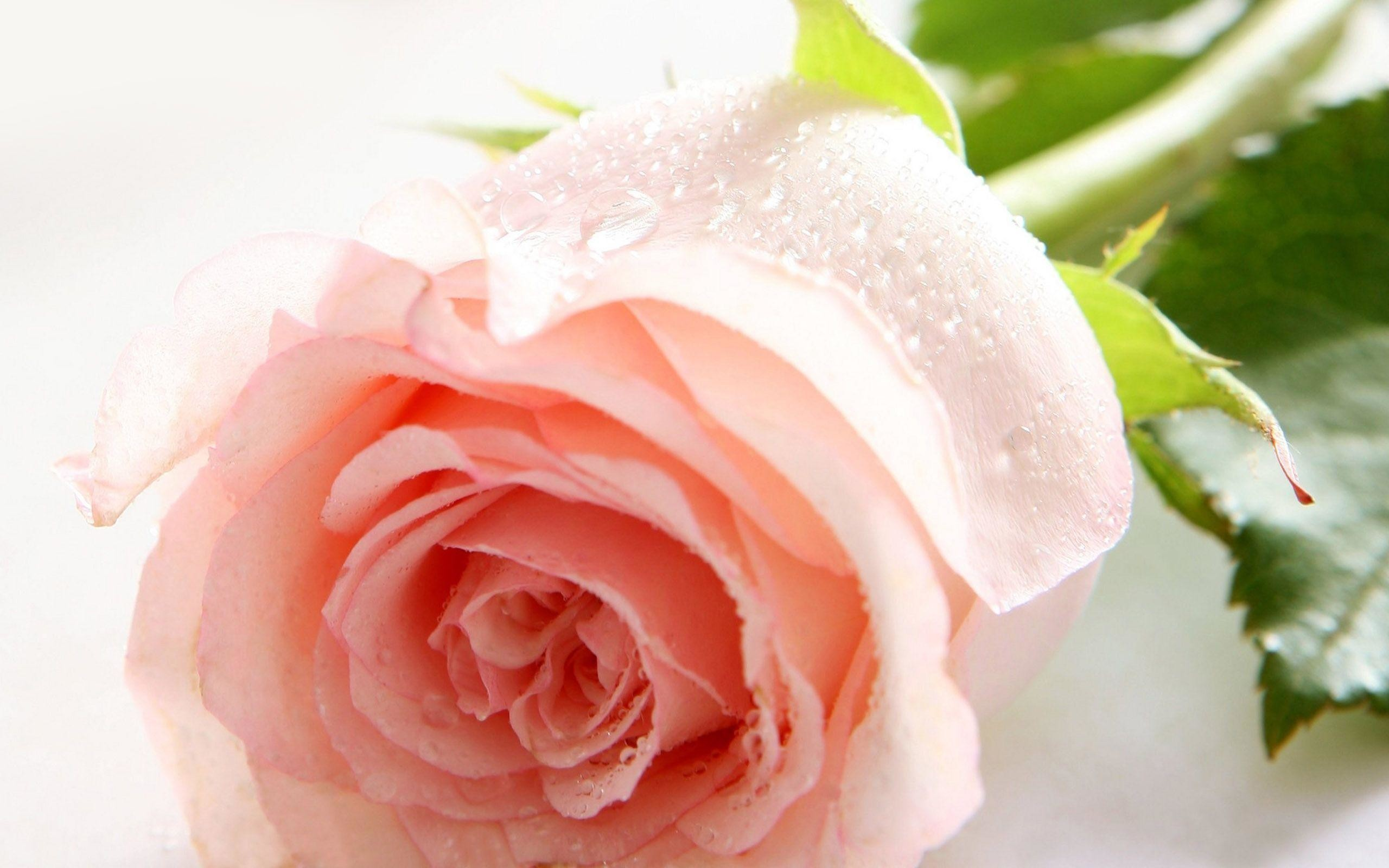 2560x1600 Wallpapers For > Natural Rose Flower Wallpaper