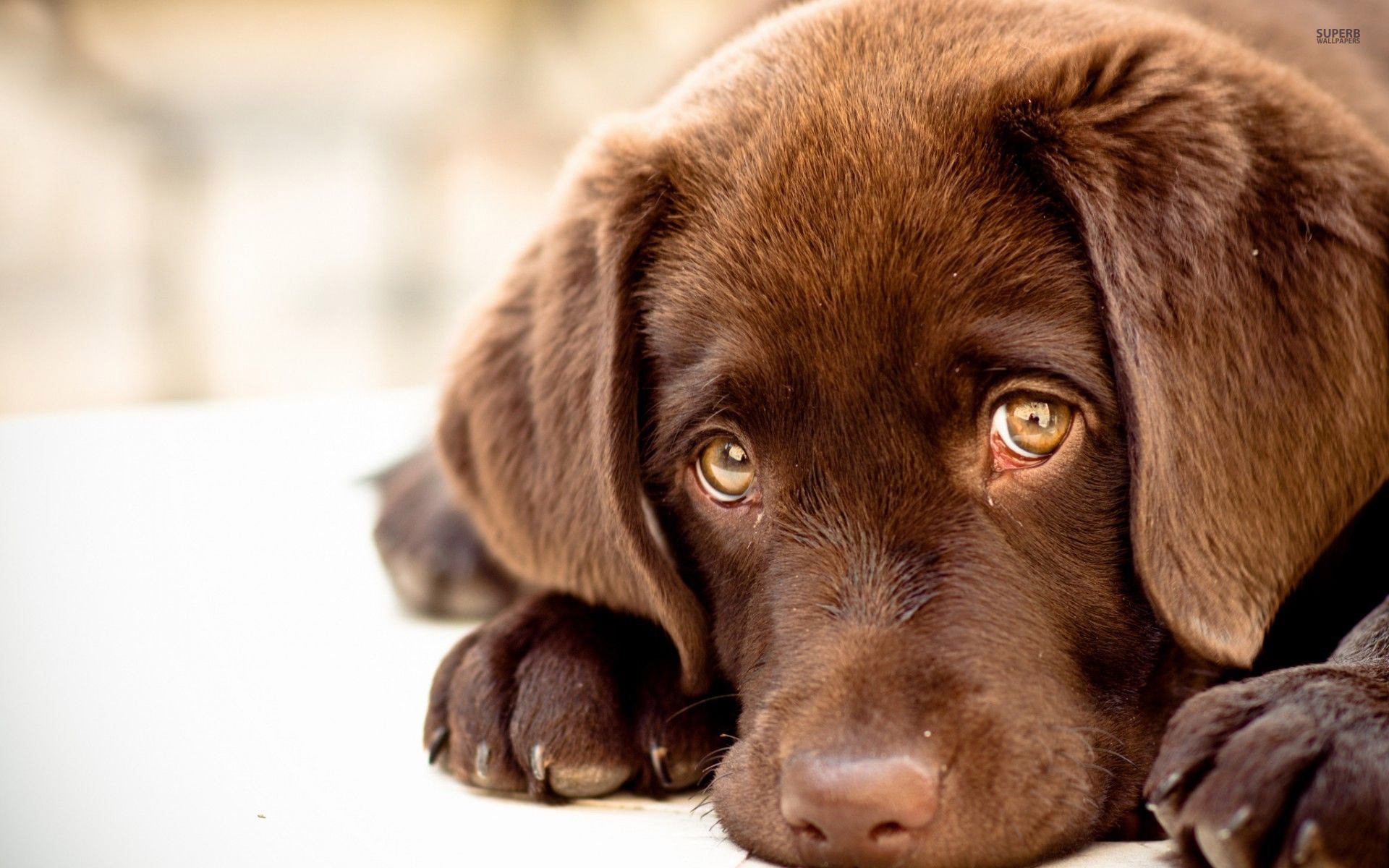 1920x1200  Chocolate Labrador Puppies. Desktop labrador puppy wallpaper