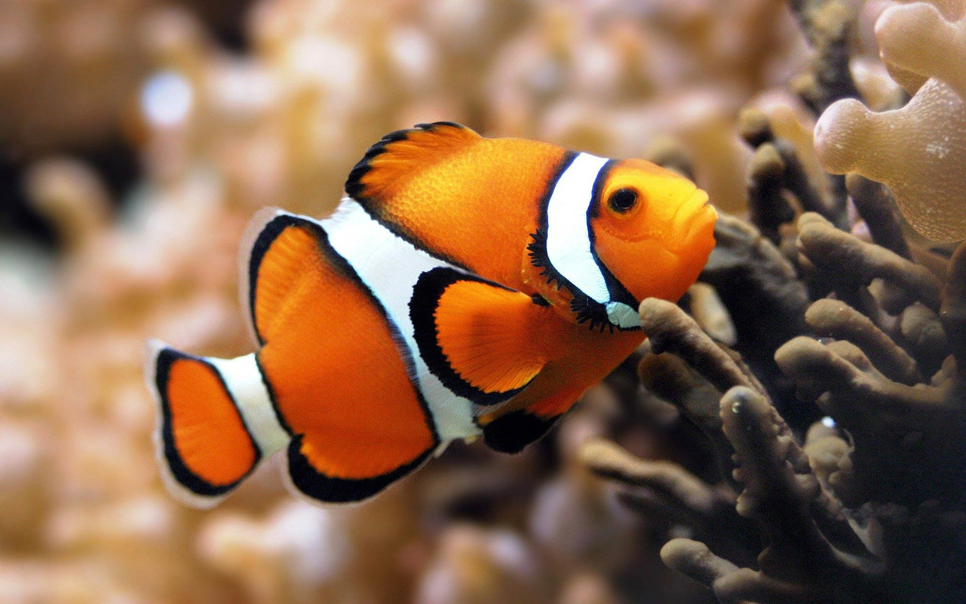 1920x1200 Clown Fish