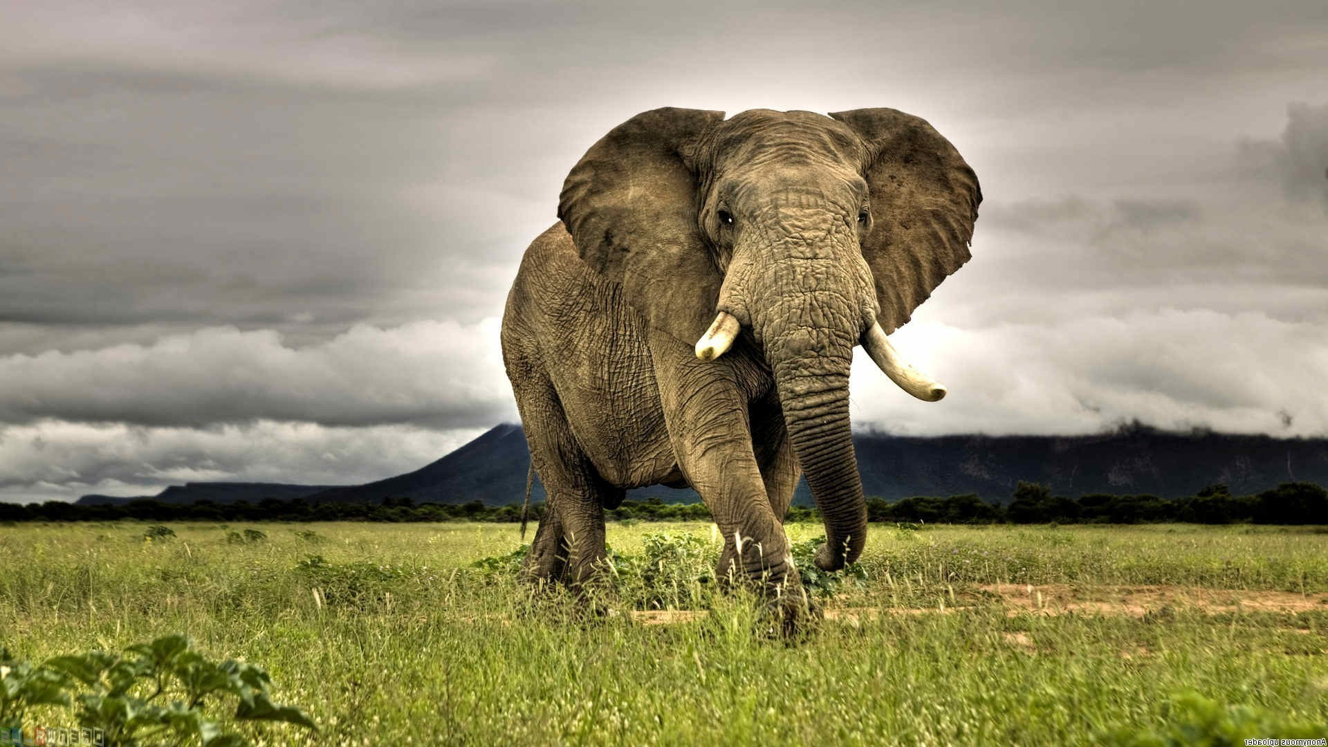 1920x1080 elephants, Animals, African, Nature, Grass, Savannah, Overcast, Wildlife,  Photography Wallpapers HD / Desktop and Mobile Backgrounds