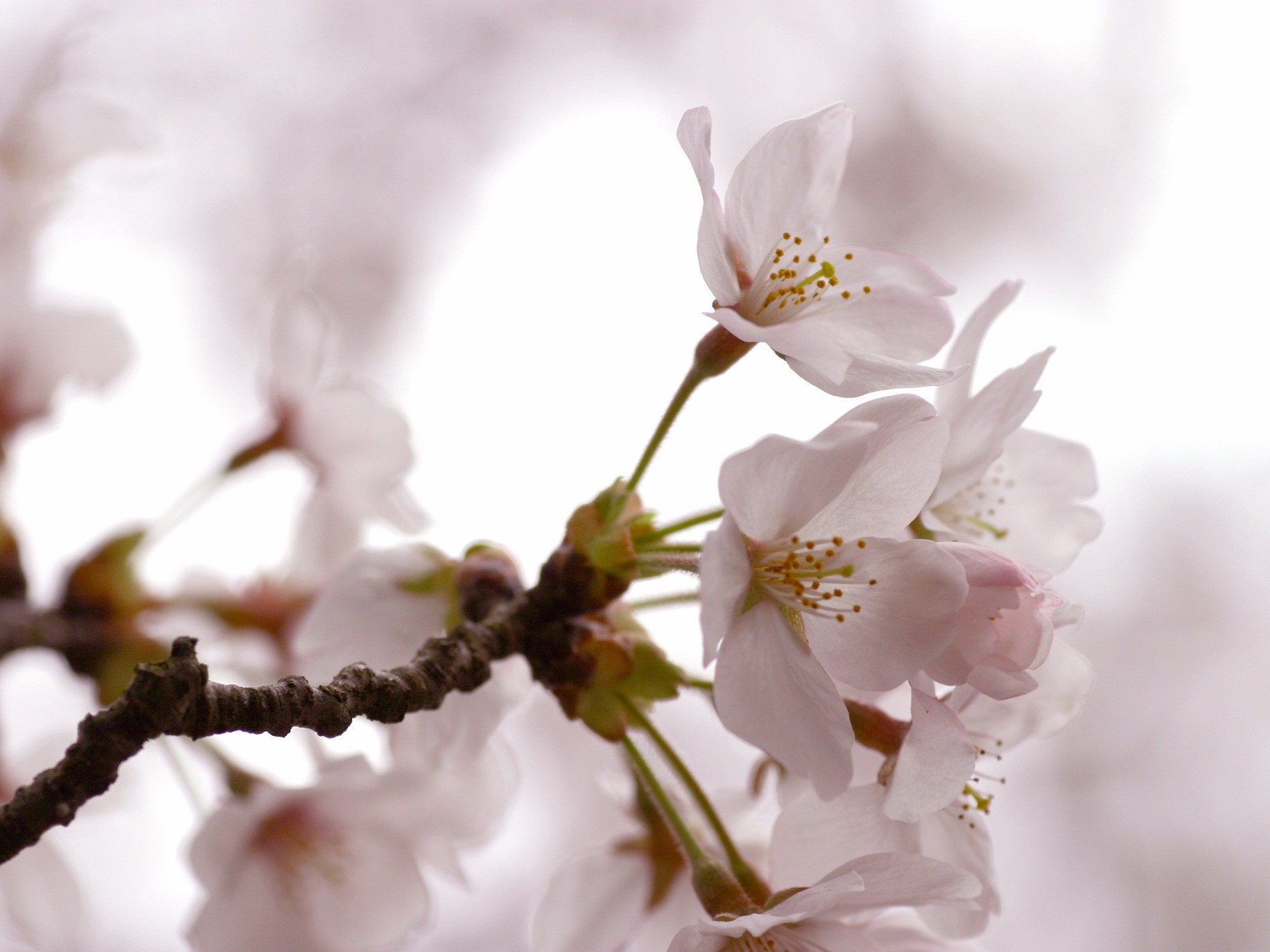 1920x1440 Cherry Flowers Wallpaper Spring Nature Wallpapers