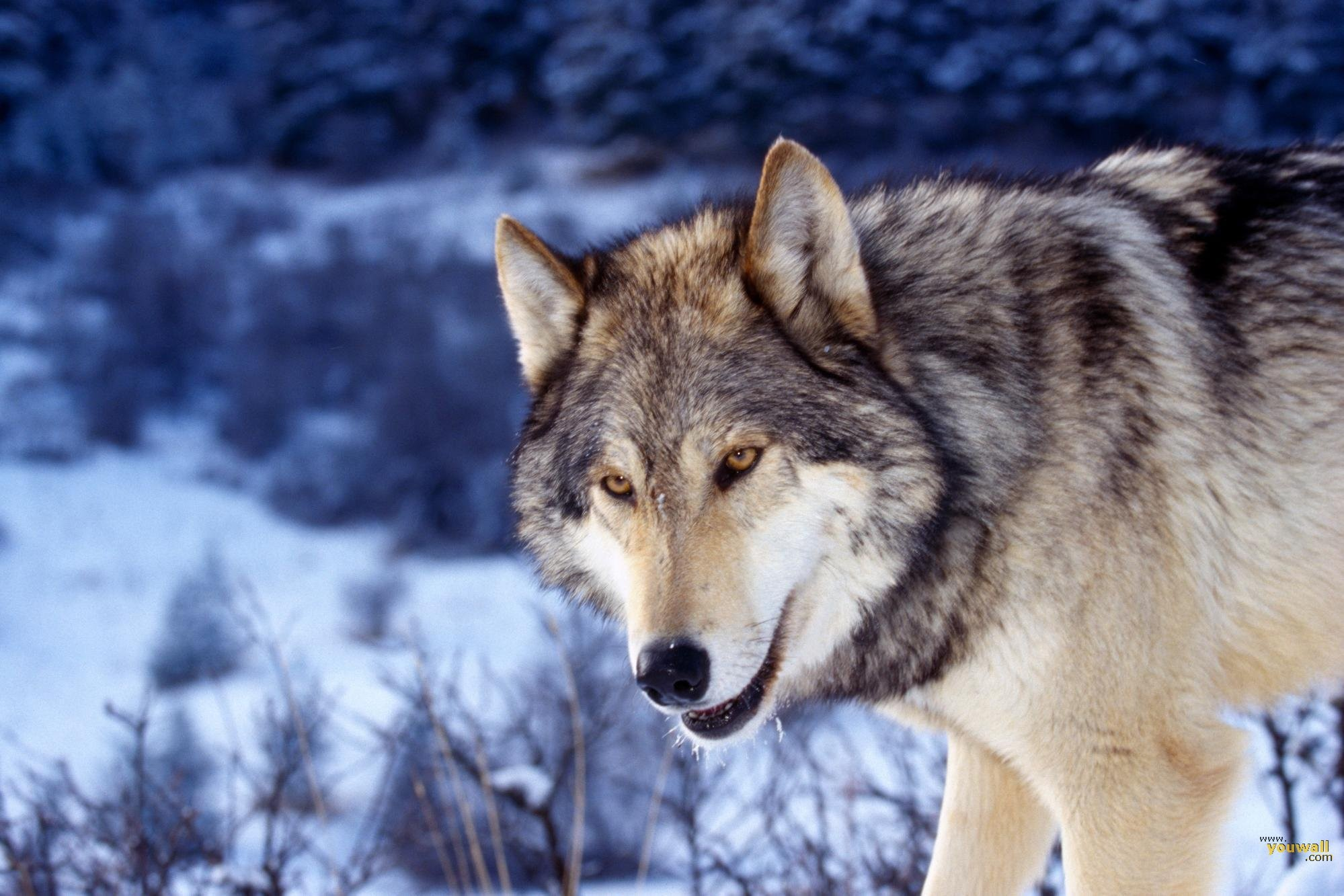 1999x1333 ... 870 Wolf HD Wallpapers | Backgrounds Wallpaper Gallery ...