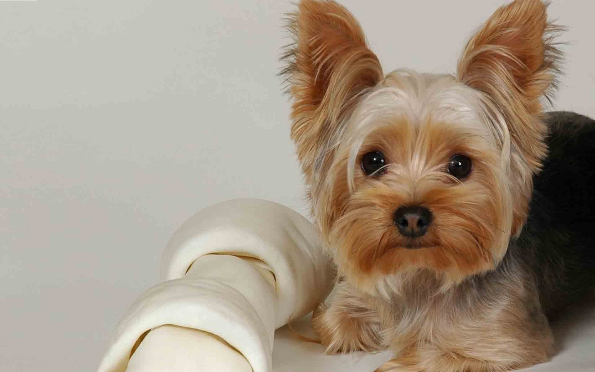 1920x1200 Chihuahua Yorkie Mix HD Wallpaper | Animals Wallpapers | Yorkie | Pinterest  | Animal wallpaper, Chihuahua mix and Animal