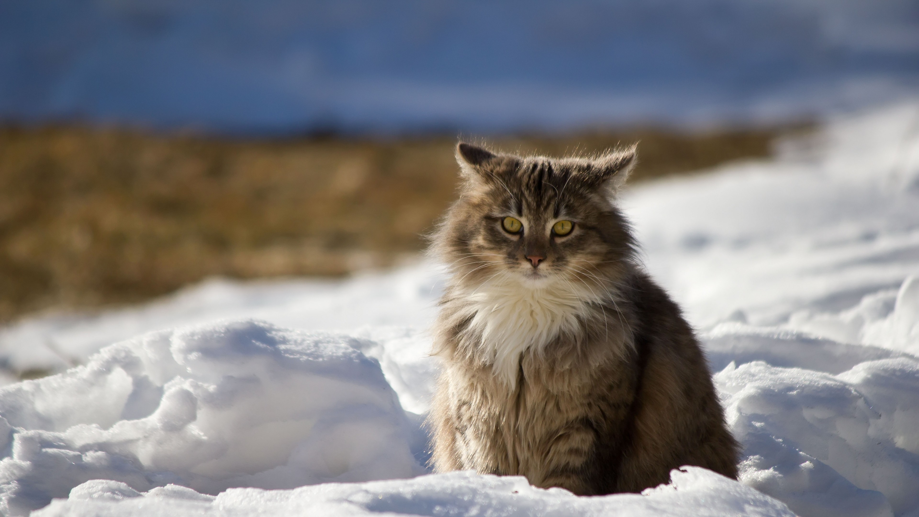 3840x2160 Preview wallpaper cat, winter, fluffy, snow