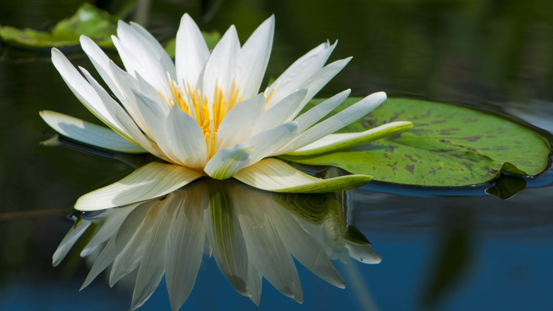 Lotus Flower Background Wallpaper 65 Images