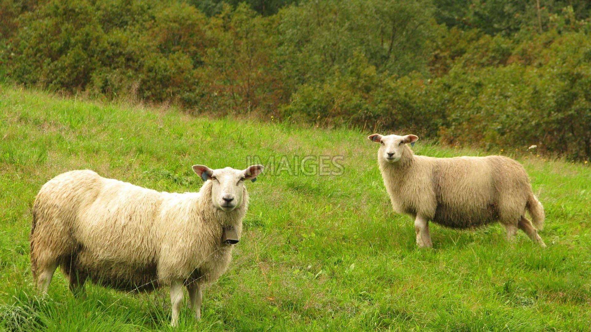 farm animals wallpaper (58+ images)