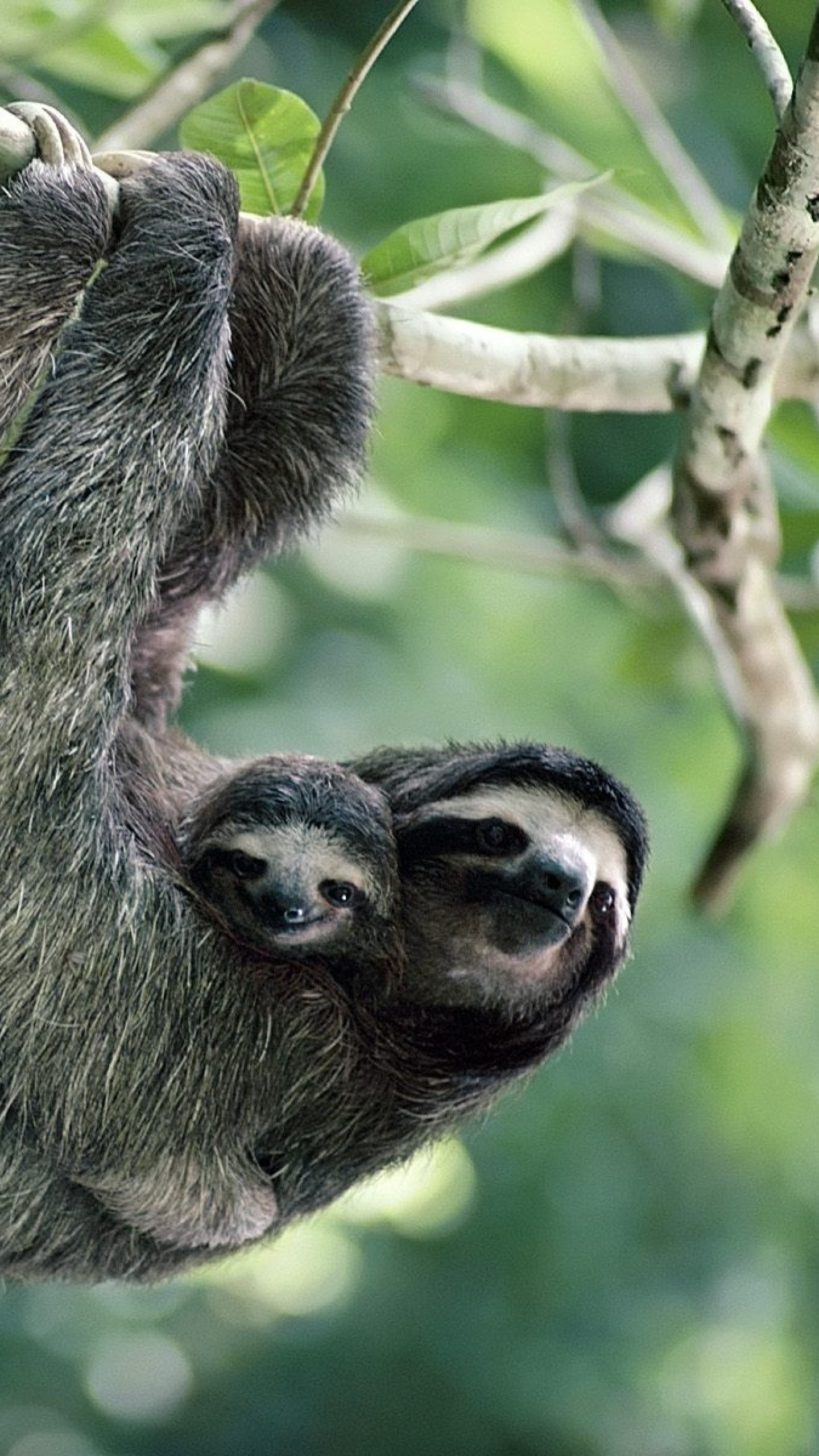 1440x2560  Wallpaper sloths, family, tree, pair