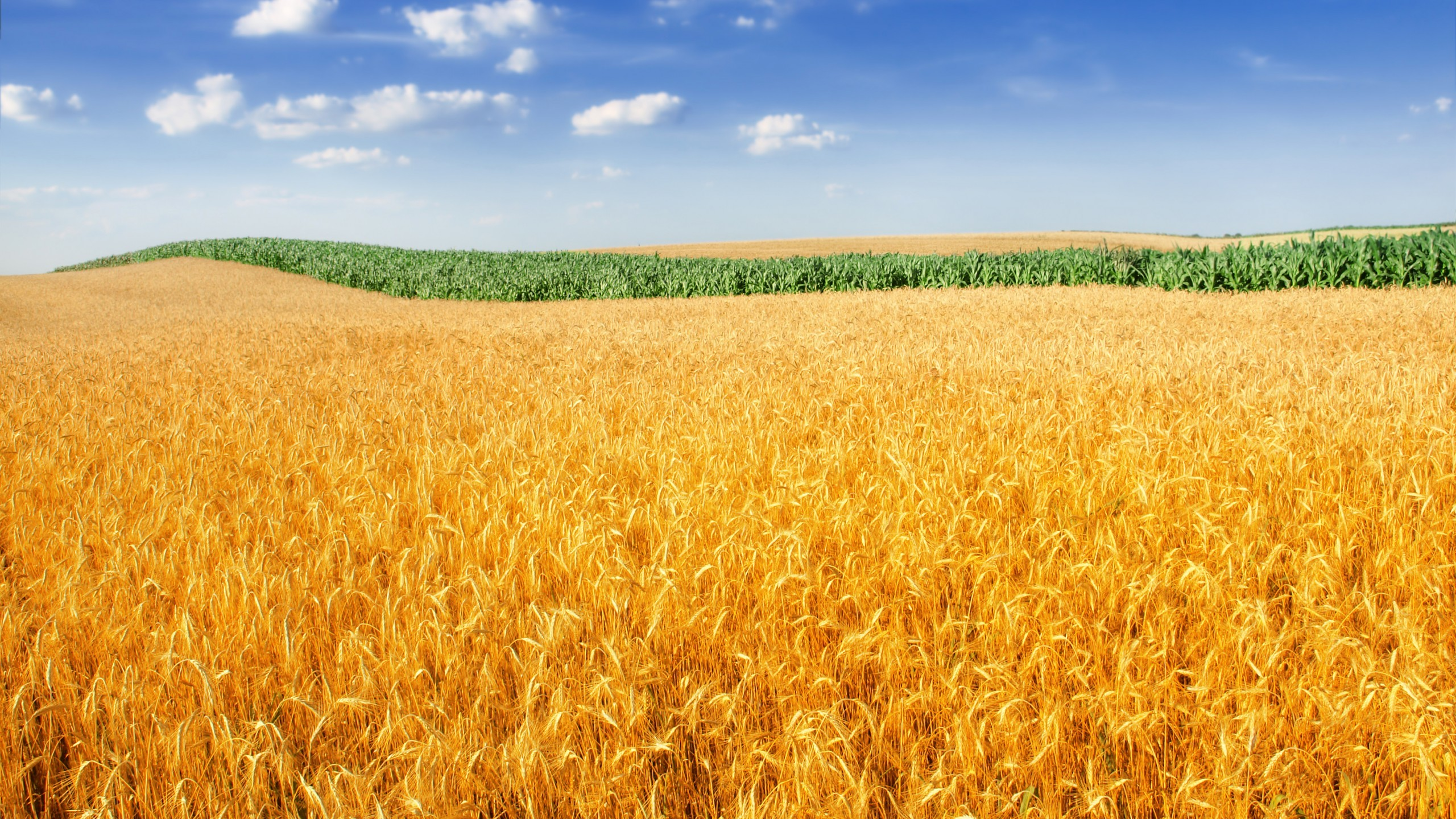 Wallpaper Field 4k Hd Wallpaper Wheat Spikes Sky: Fields Wallpaper (67+ Images