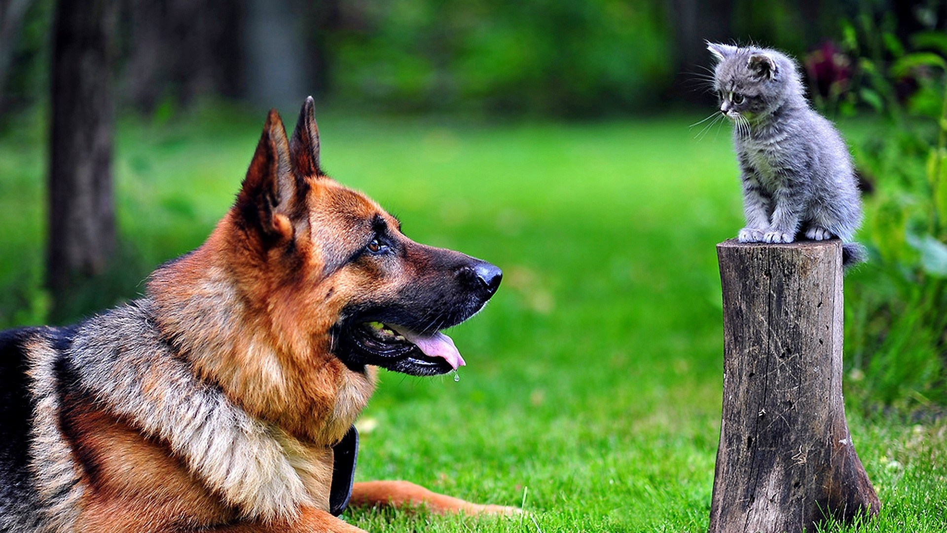 1920x1080  Wallpaper dog, cat, grass, german shepherd
