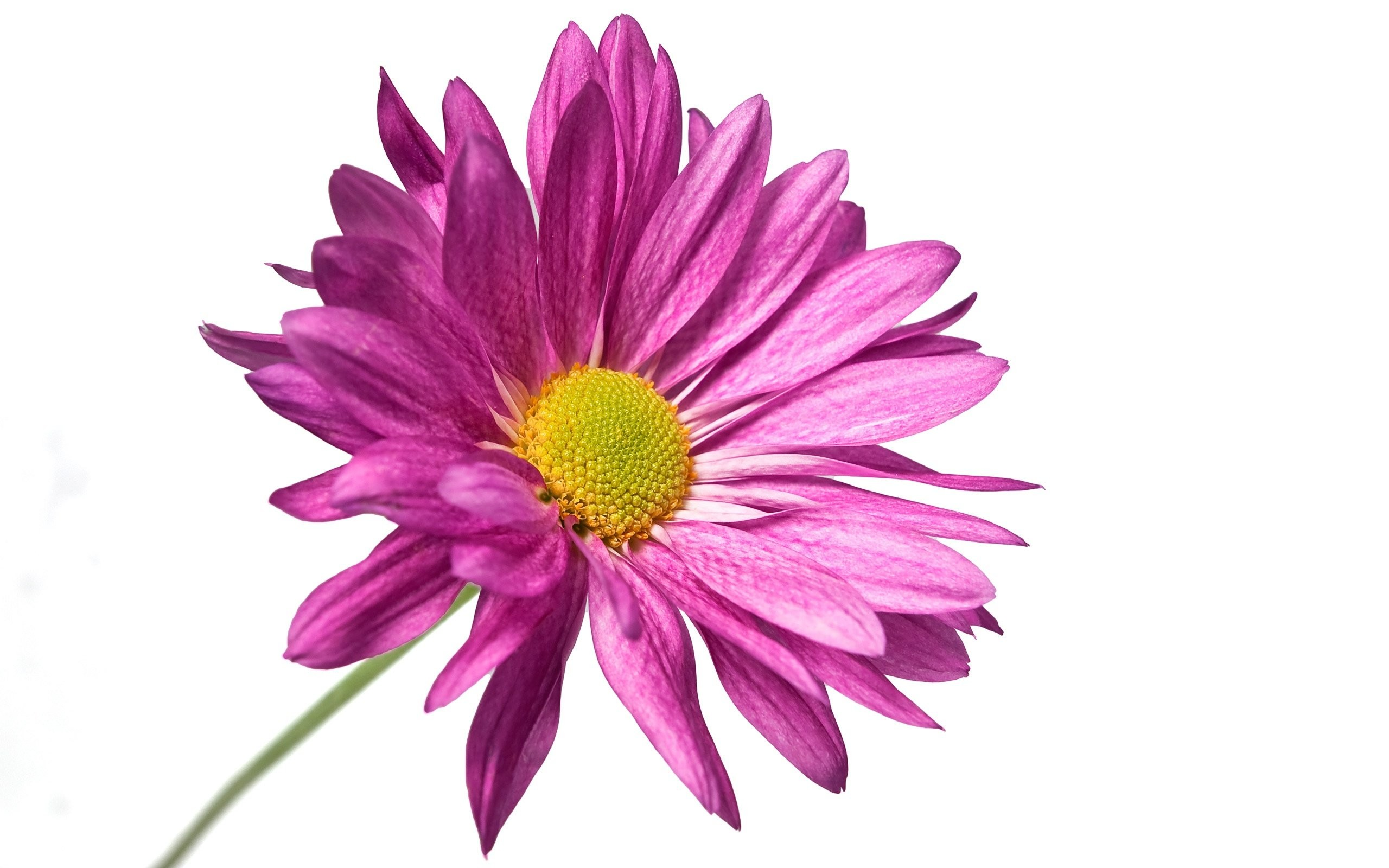Purple flower white background 41 images 2560x1600 purple flower white background mightylinksfo