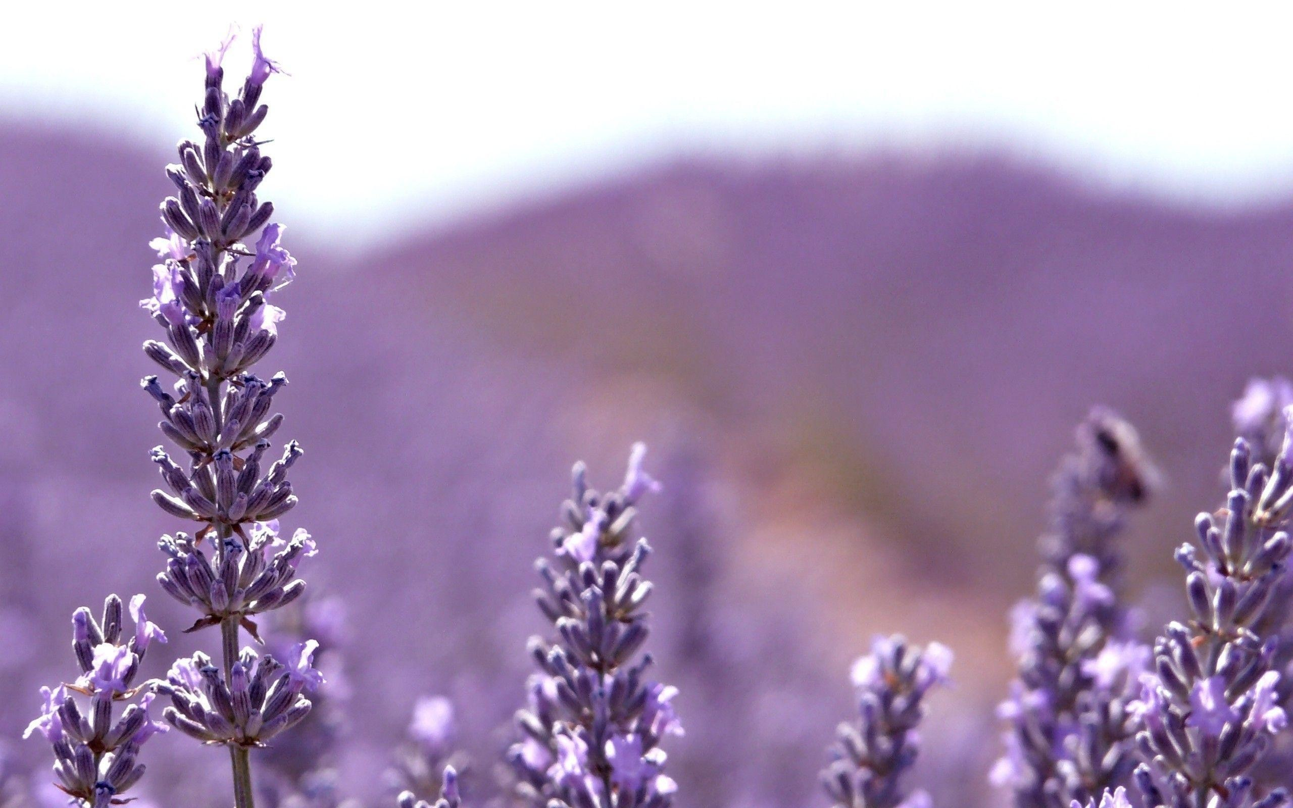 2560x1600 Lavender Flower Background Hd Images 3 HD Wallpapers | aduphoto.