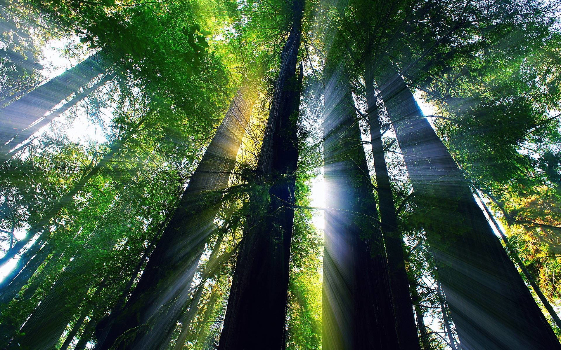 1920x1200 Redwood forest california Wallpapers | Pictures