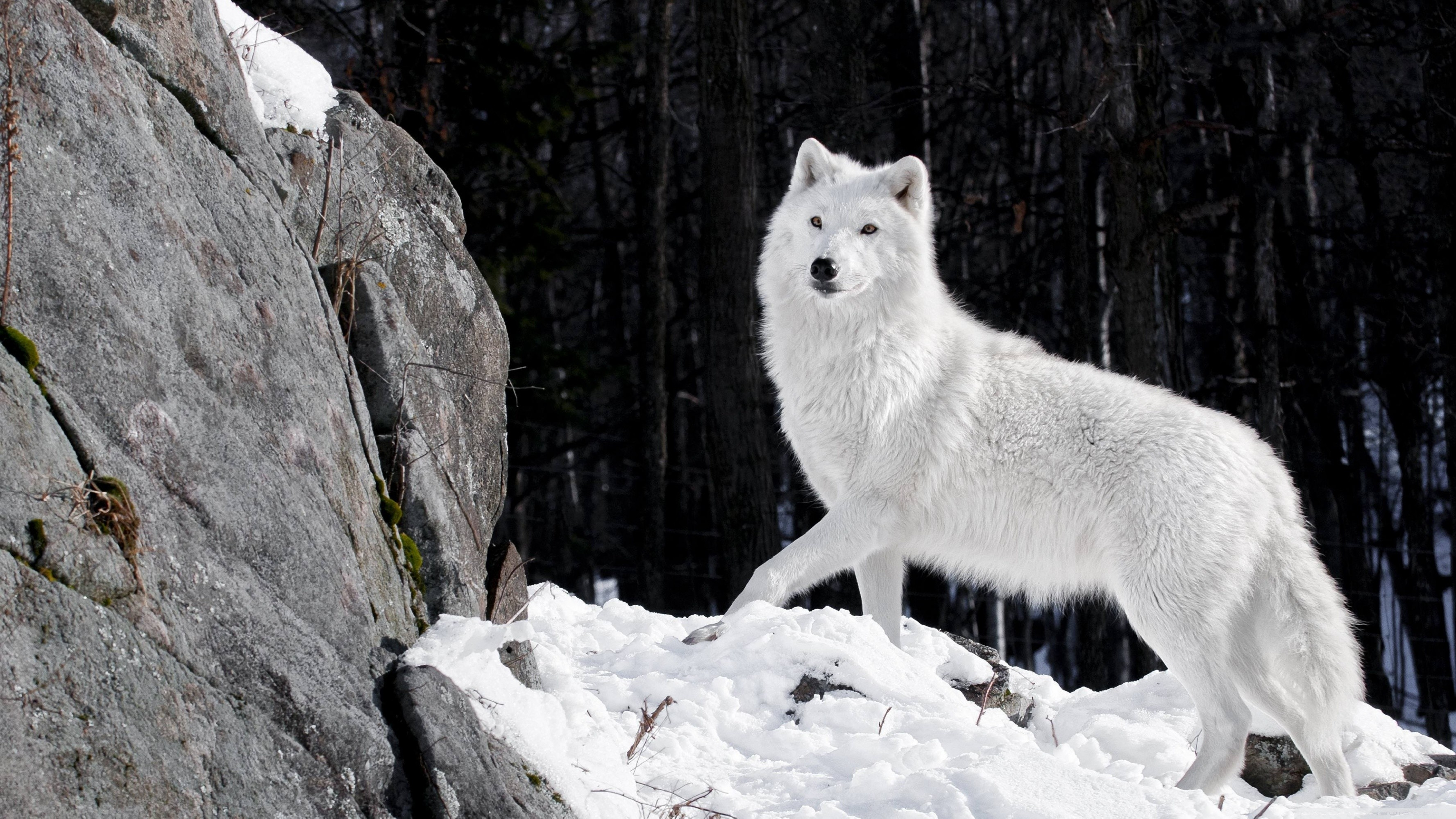 3554x1999 White Wolf Wallpapers - Wallpaper Cave HD Wolf Wallpapers - WallpaperSafari  ...