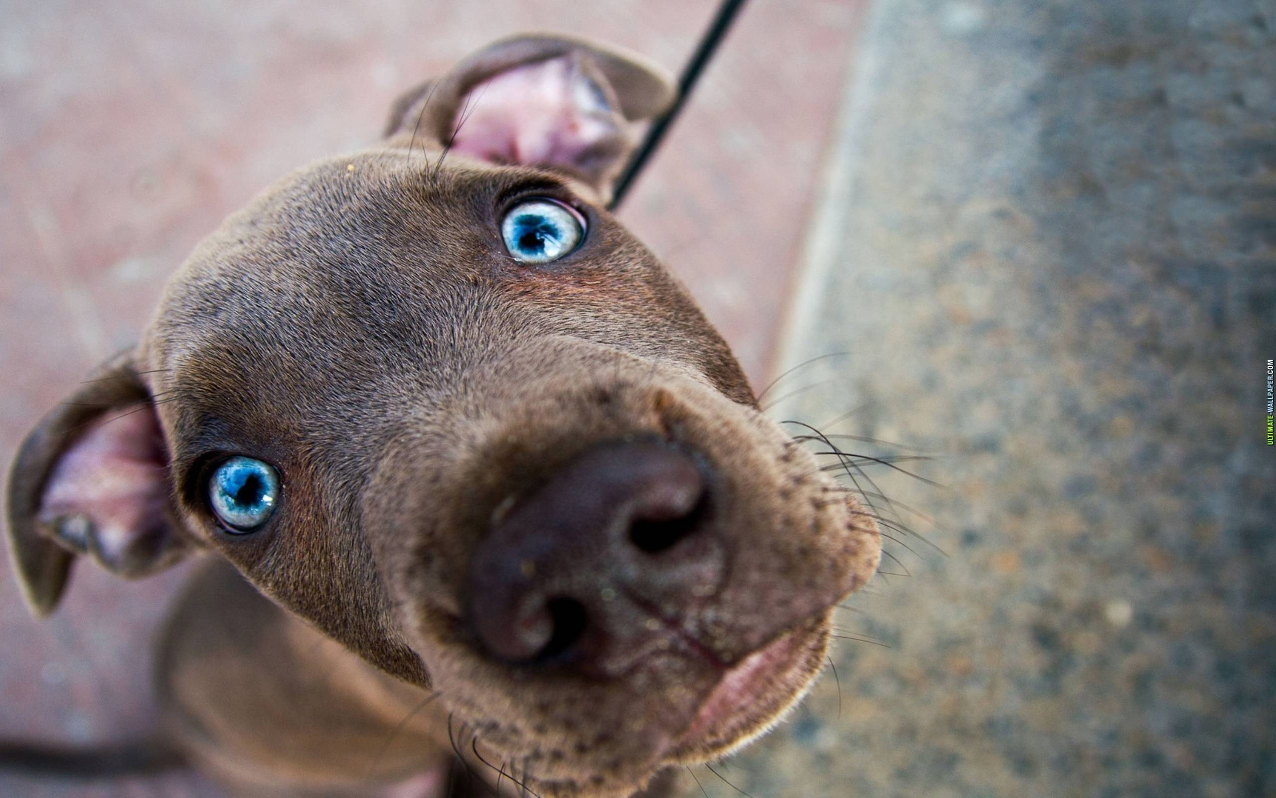 2560x1600 Desktop wallpapers Blue-eyed Weimaraner dog - photos in high quality and  resolution