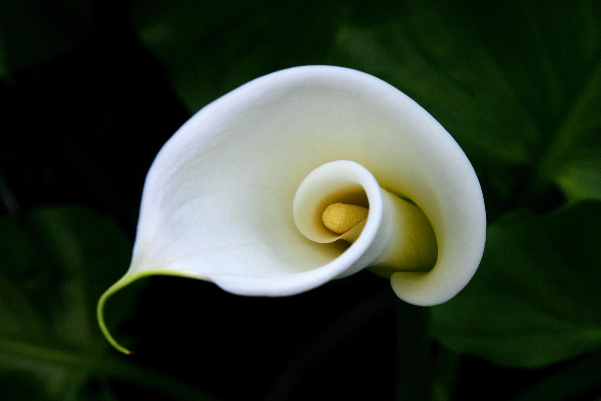 2000x1333 Calla Lily wallpapers for iphone
