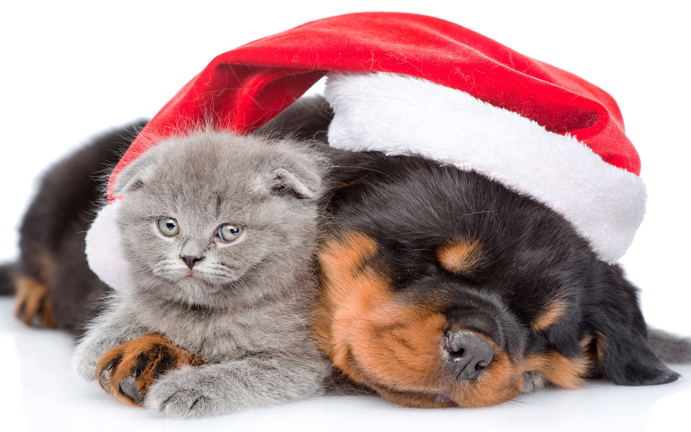 2350x1469 Animal - Cat & Dog Holiday Christmas Puppy Kitten Cute Santa Hat Wallpaper