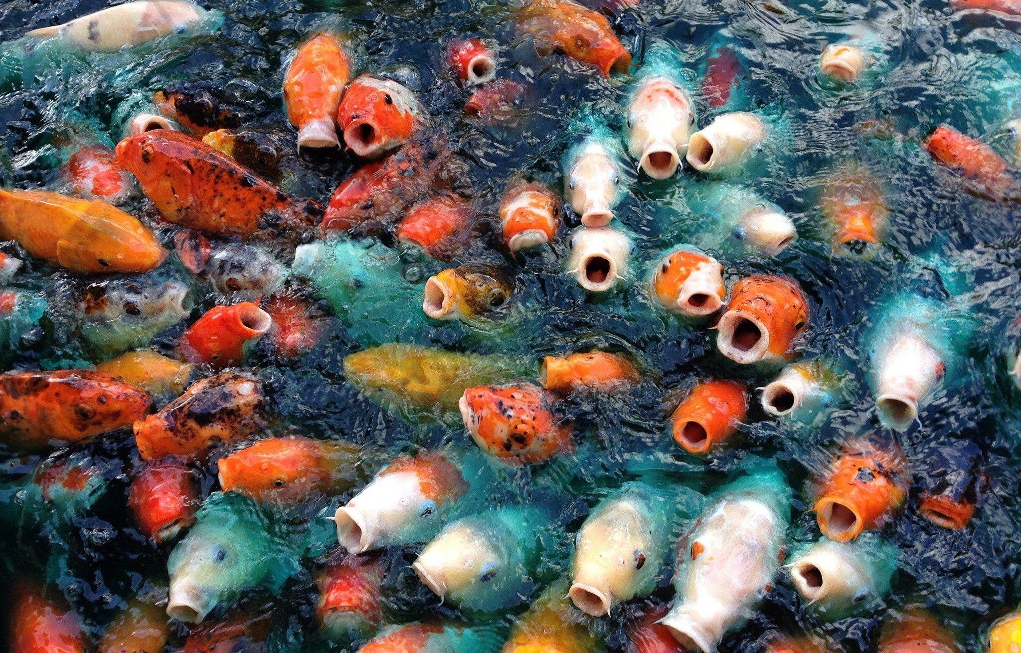 Koi Fish Wallpapers (64+ images)