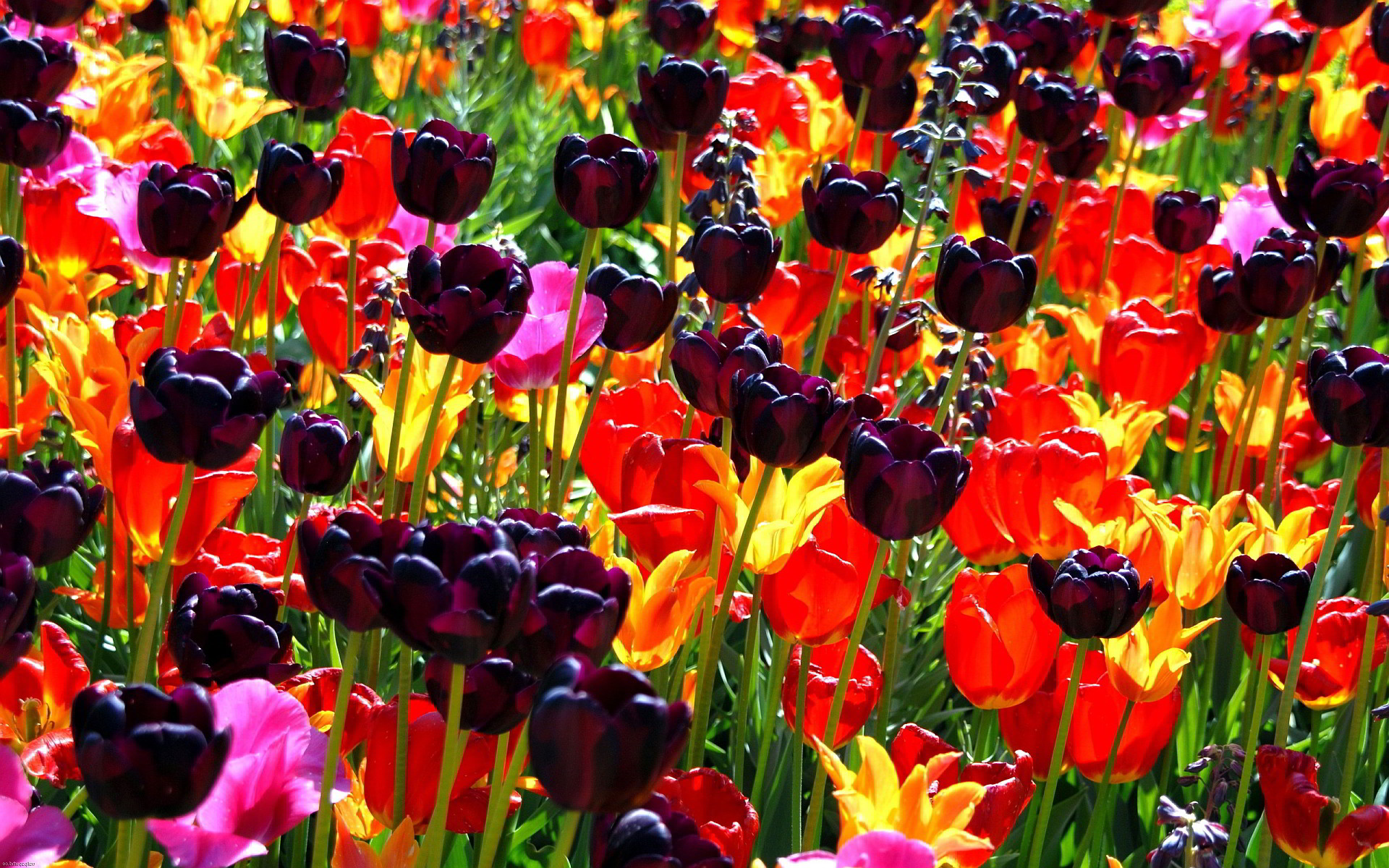 1920x1200 pictures+of+colorful+flowers | Colorful flower field Wallpapers Pictures  Photos Images