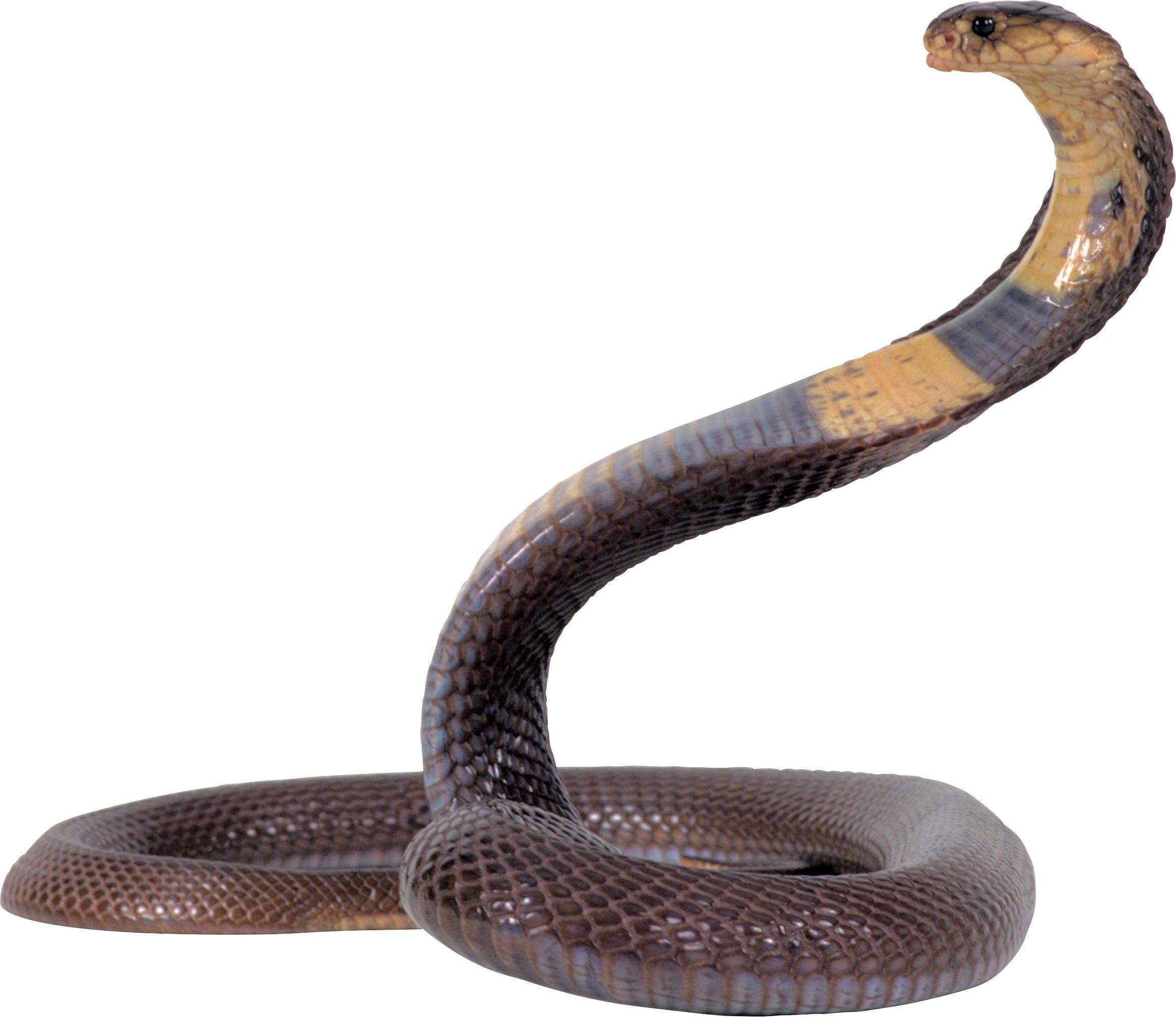 indian king cobra snake wallpaper 50 images