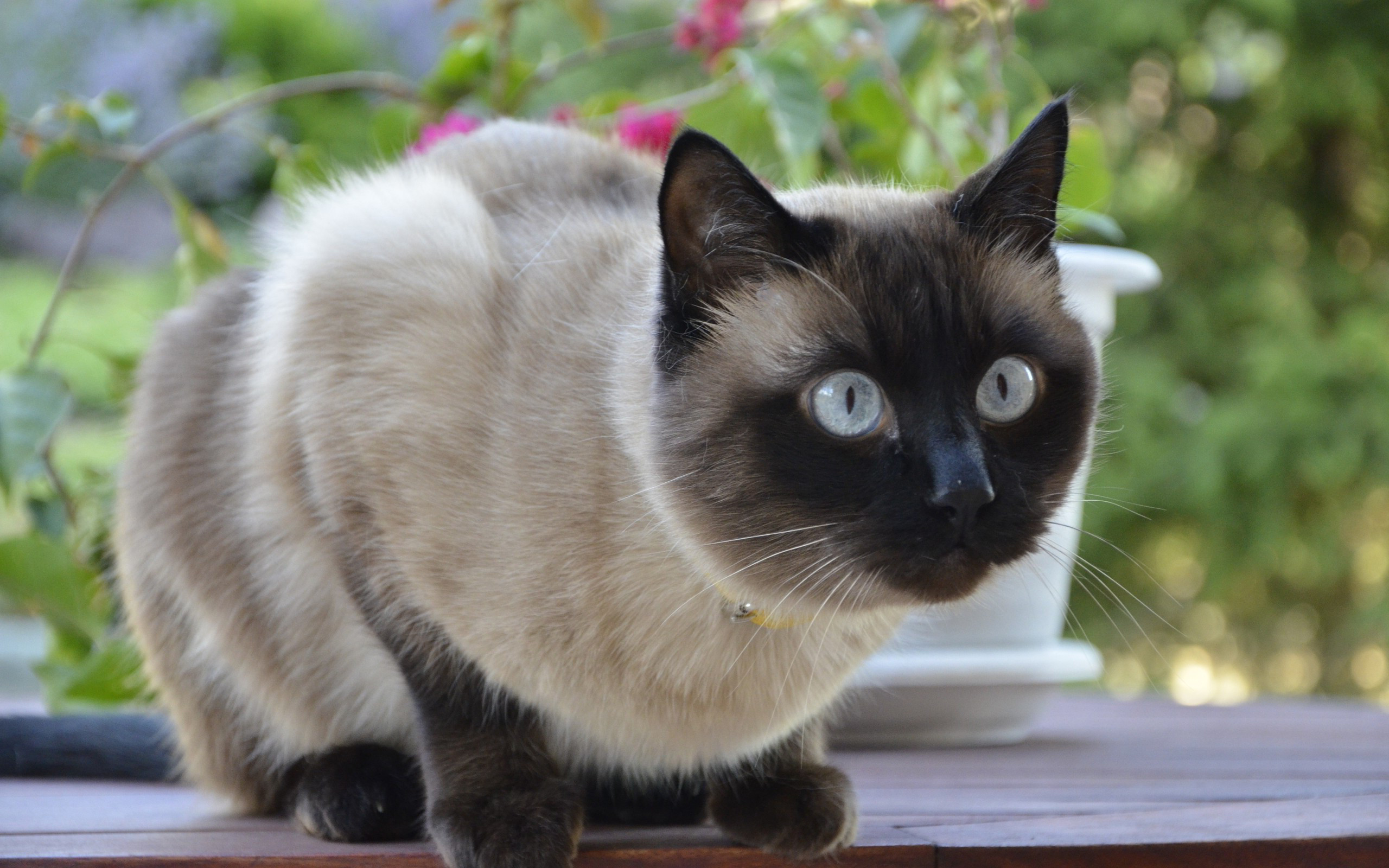 2560x1600 Beautiful Siamese cat saw someone wallpapers and images - wallpapers,  pictures, photos